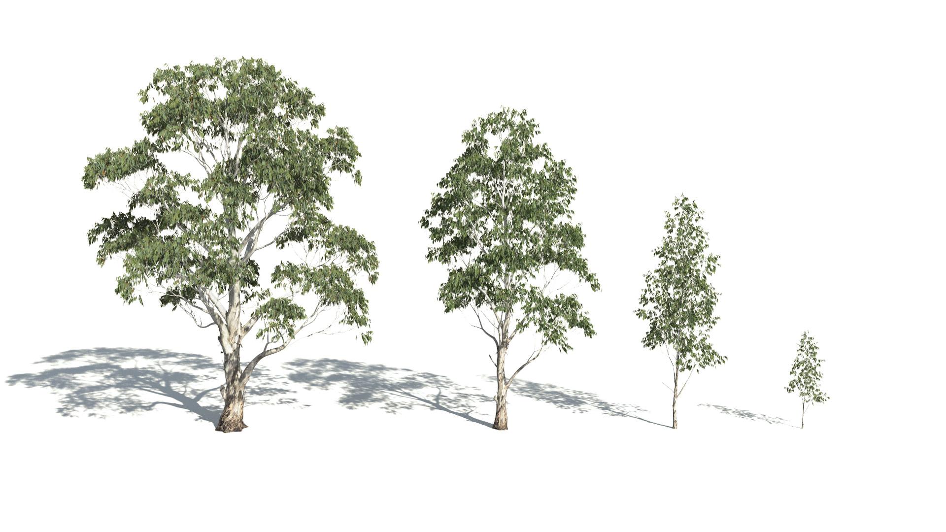 3D model of the Red river gum Eucalyptus camaldulensis maturity variations
