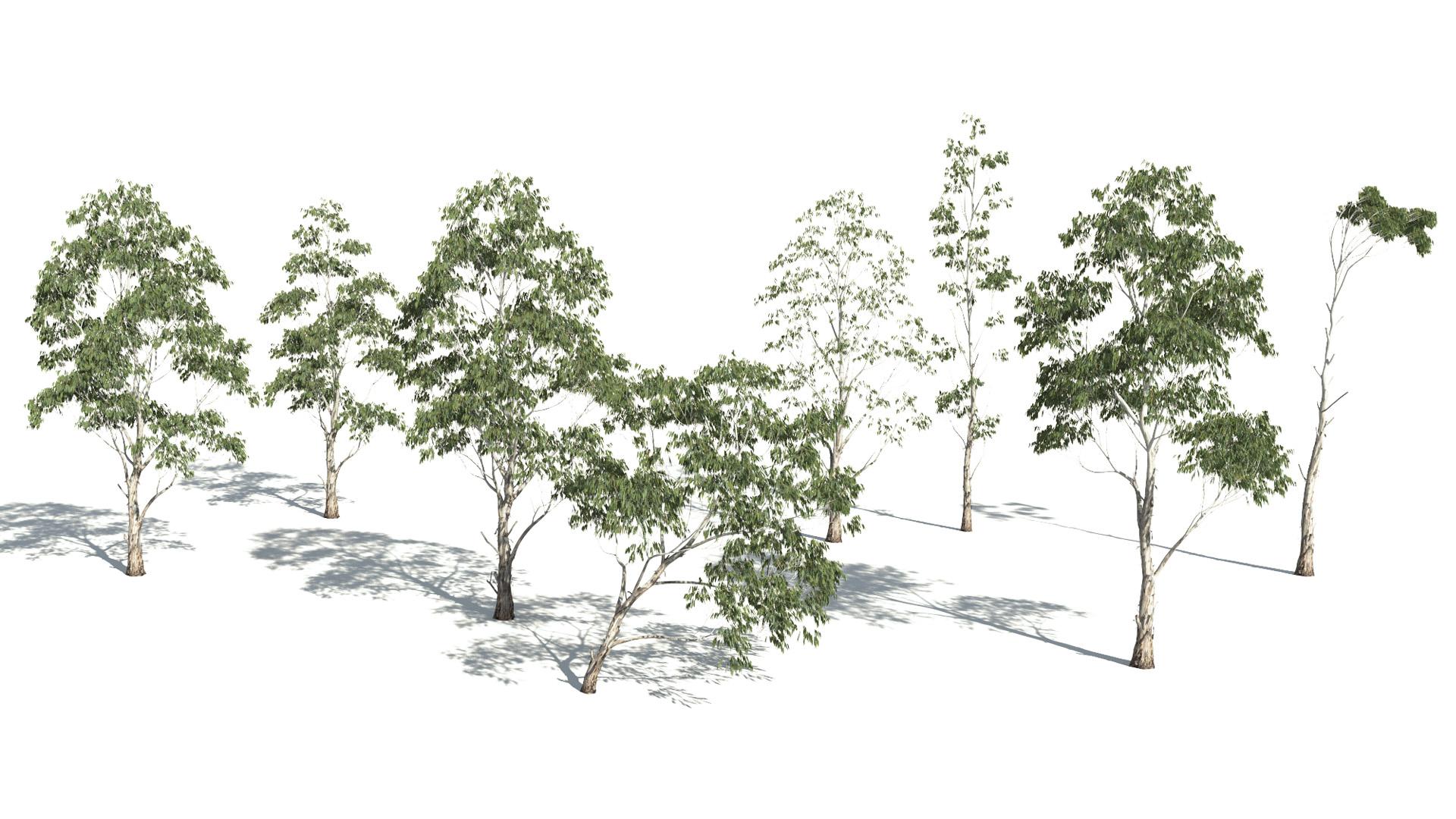3D model of the Red river gum Eucalyptus camaldulensis published parameters