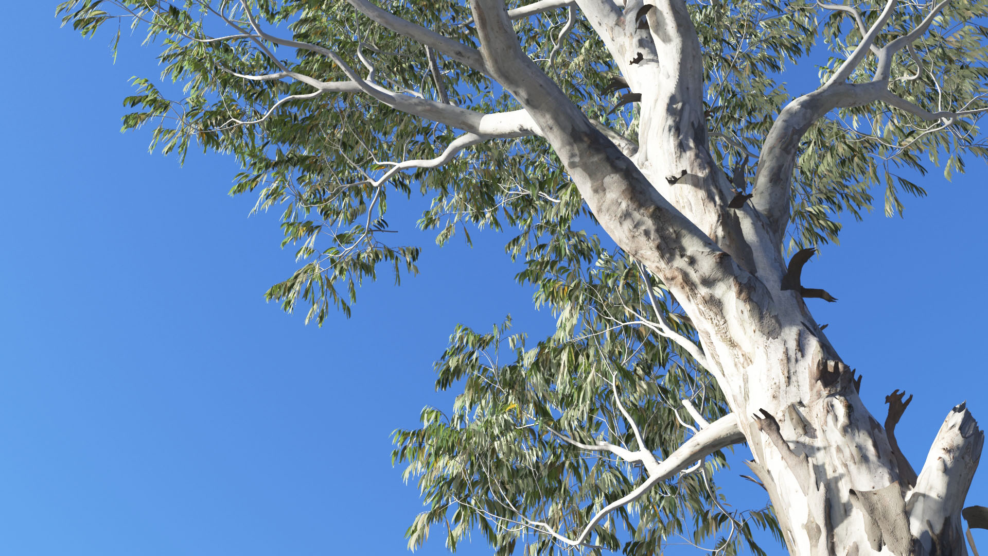 3D model of the Red river gum Eucalyptus camaldulensis close-up