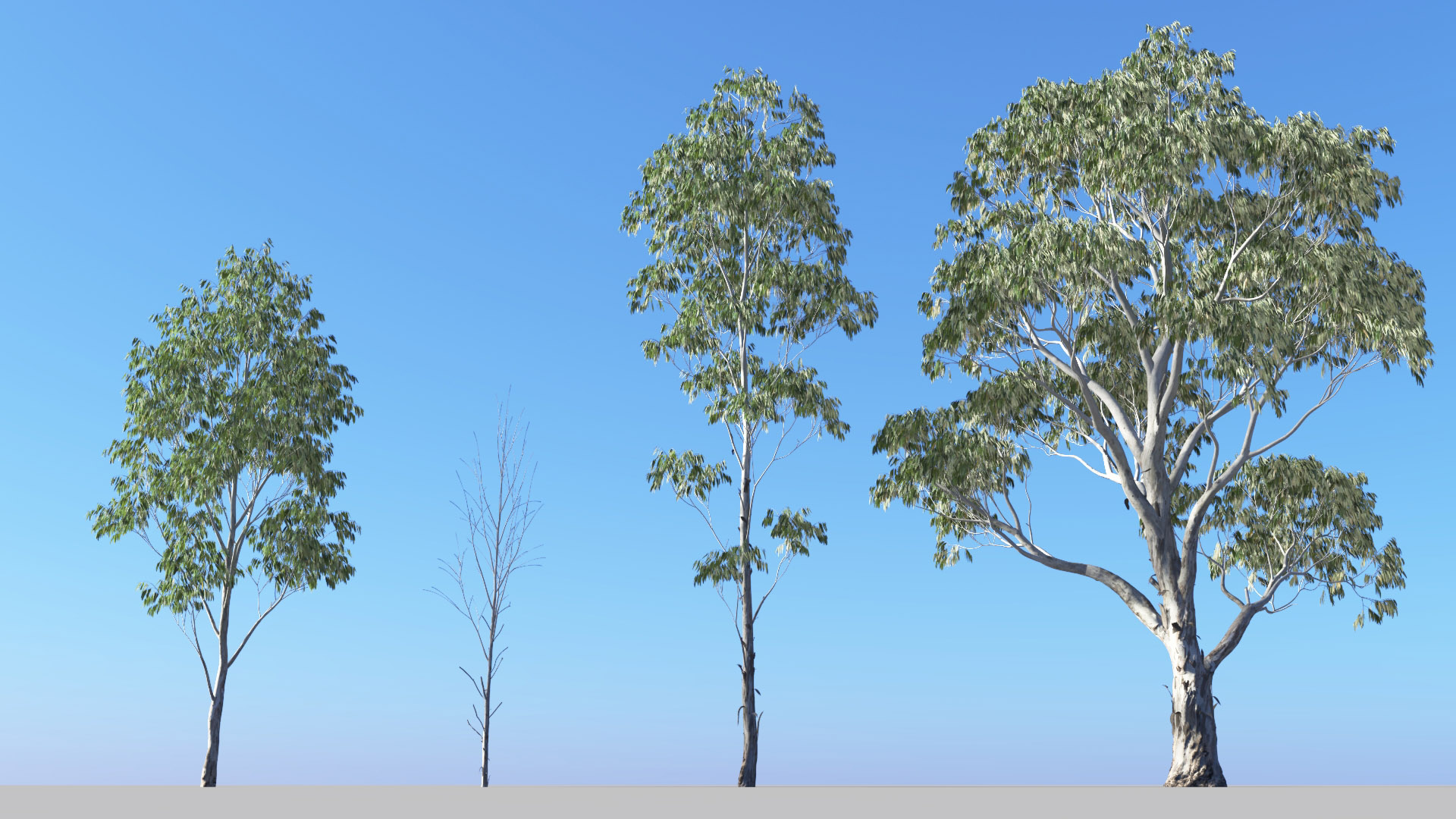 3D model of the Red river gum Eucalyptus camaldulensis