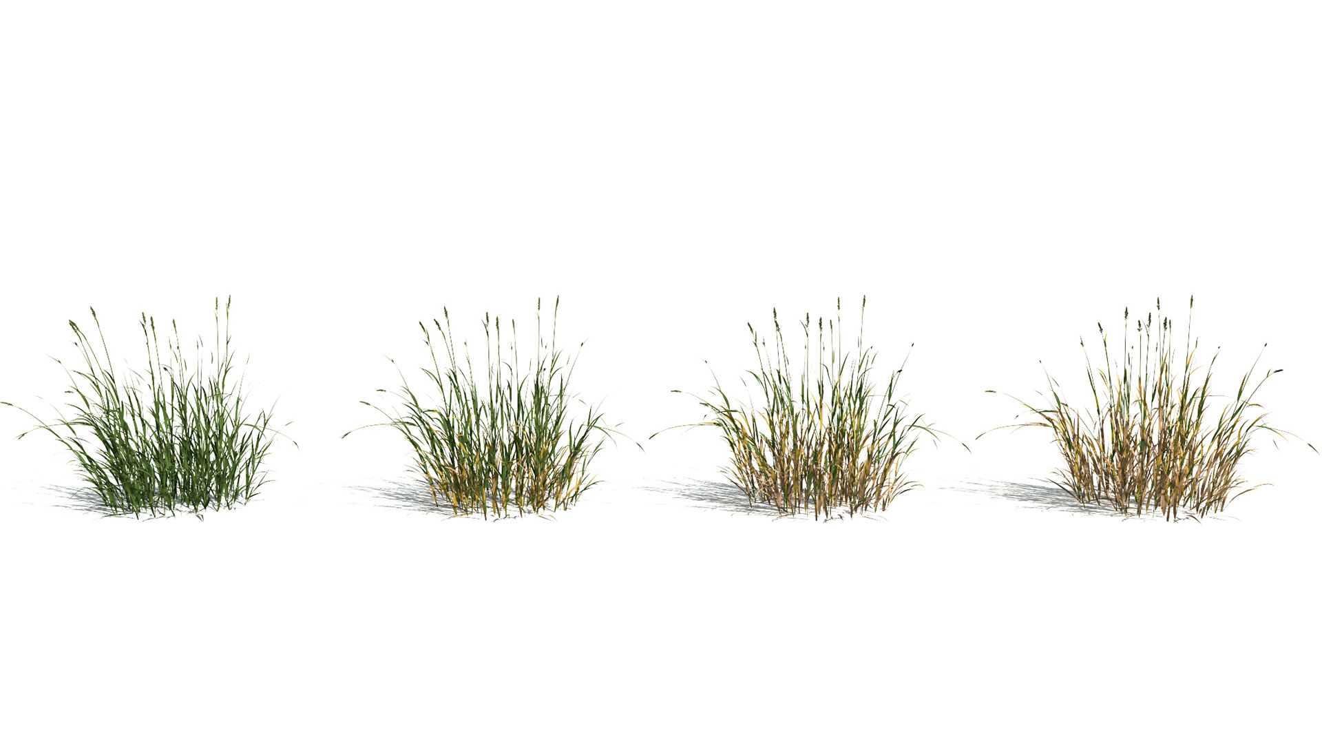 3D model of the Reed canary grass Phalaris arundinacea health variations