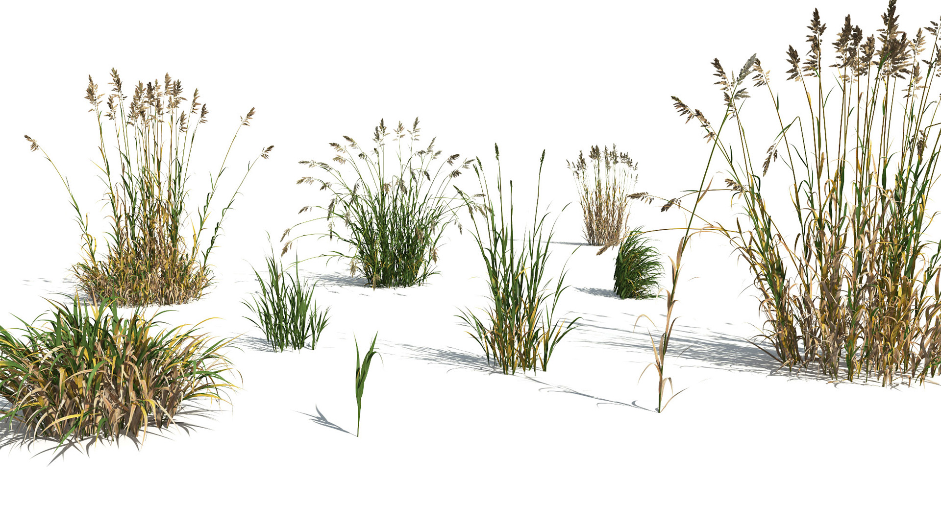 3D model of the Reed canary grass Phalaris arundinacea different presets