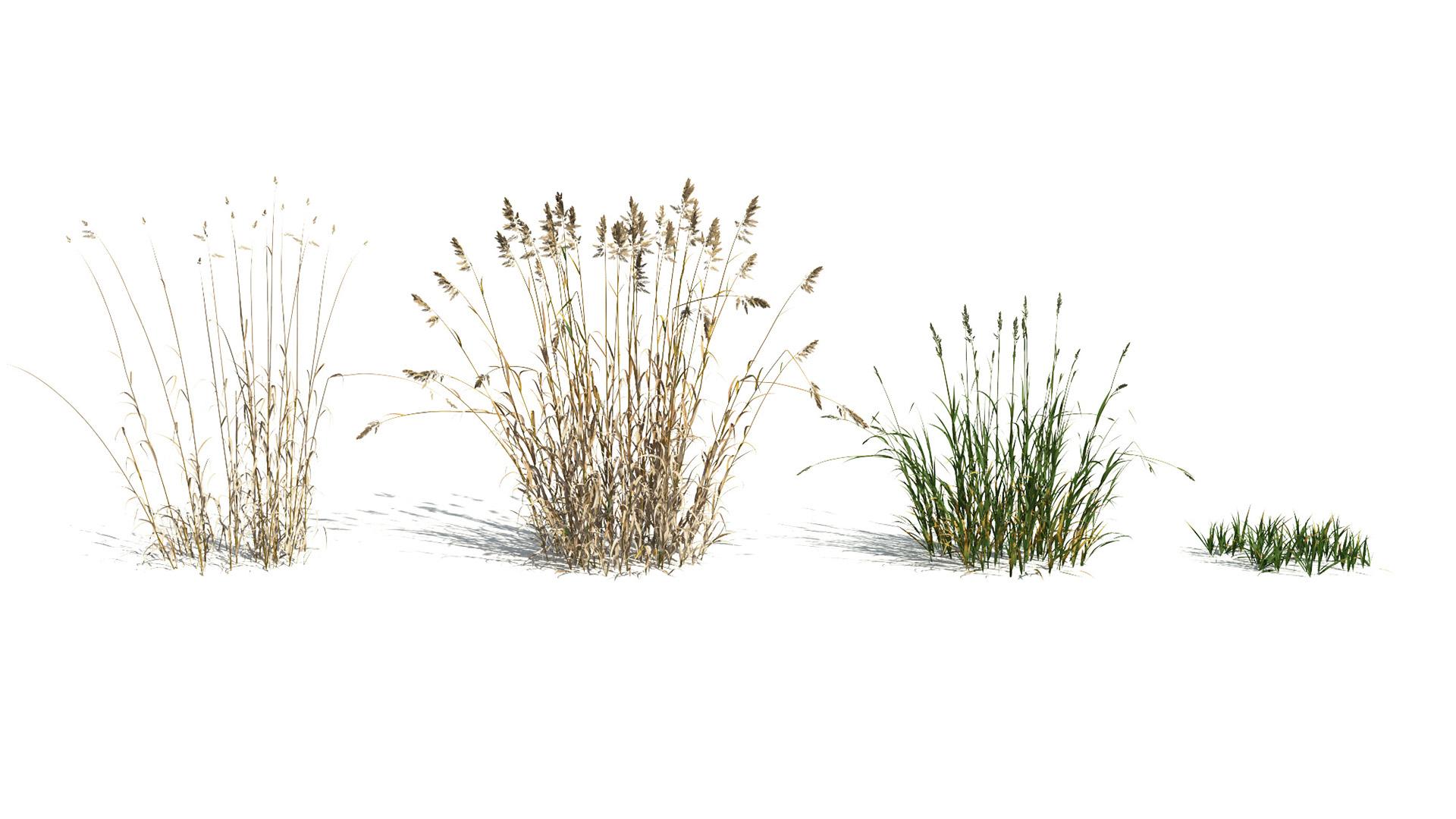 3D model of the Reed canary grass Phalaris arundinacea season variations
