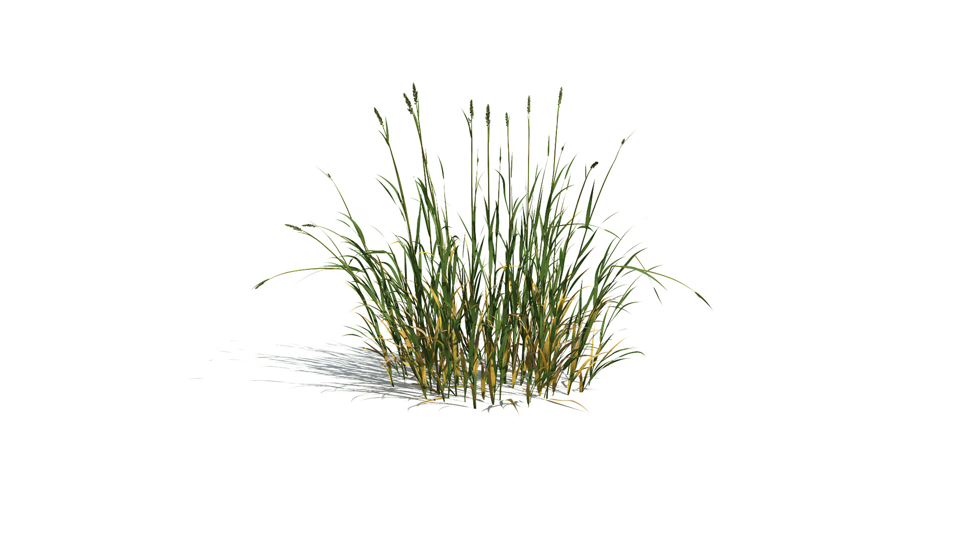 3D model of the Reed canary grass Phalaris arundinacea