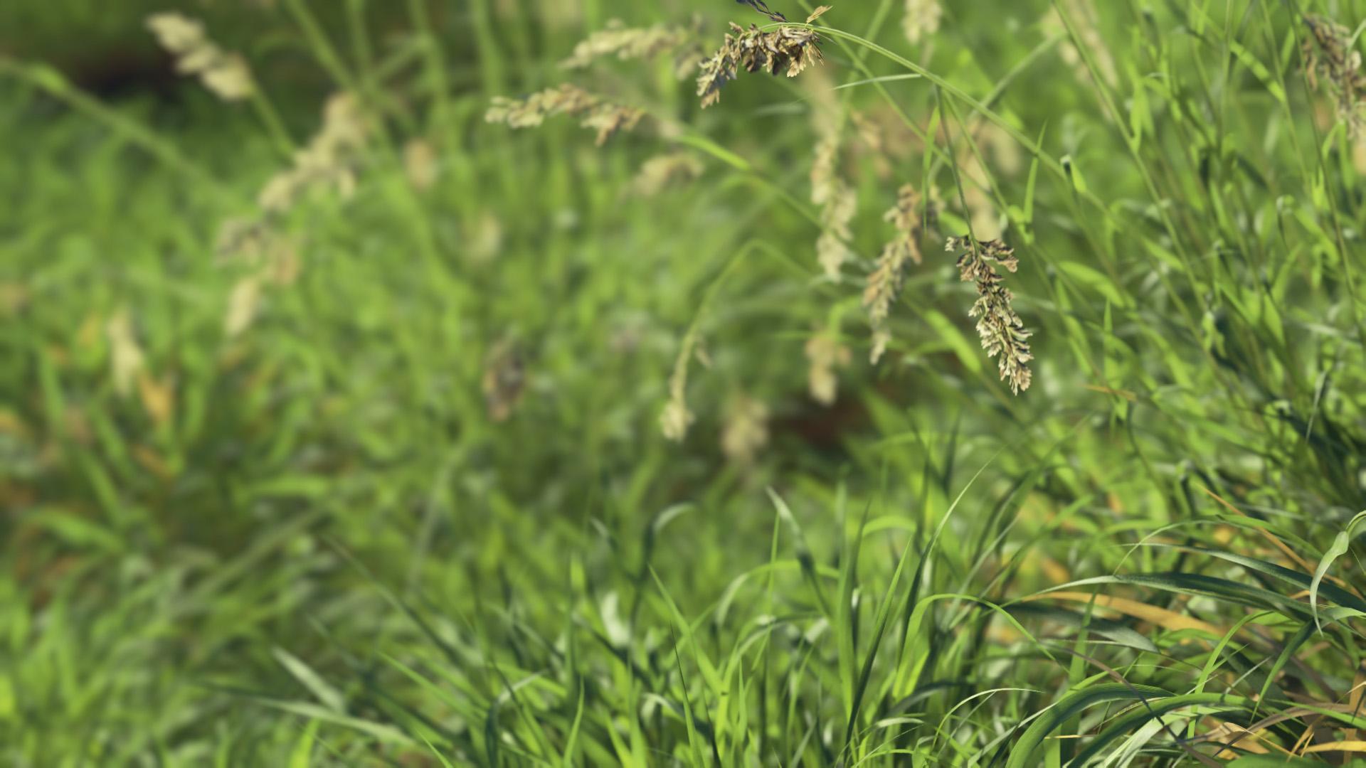 3D model of the Reed canary grass Phalaris arundinacea close-up