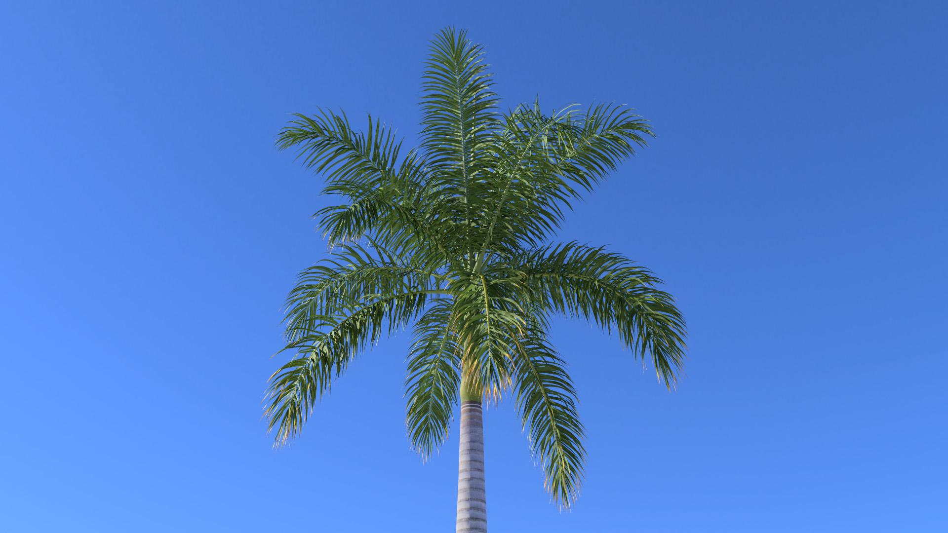 3D model of the Royal palm Roystonea regia close-up