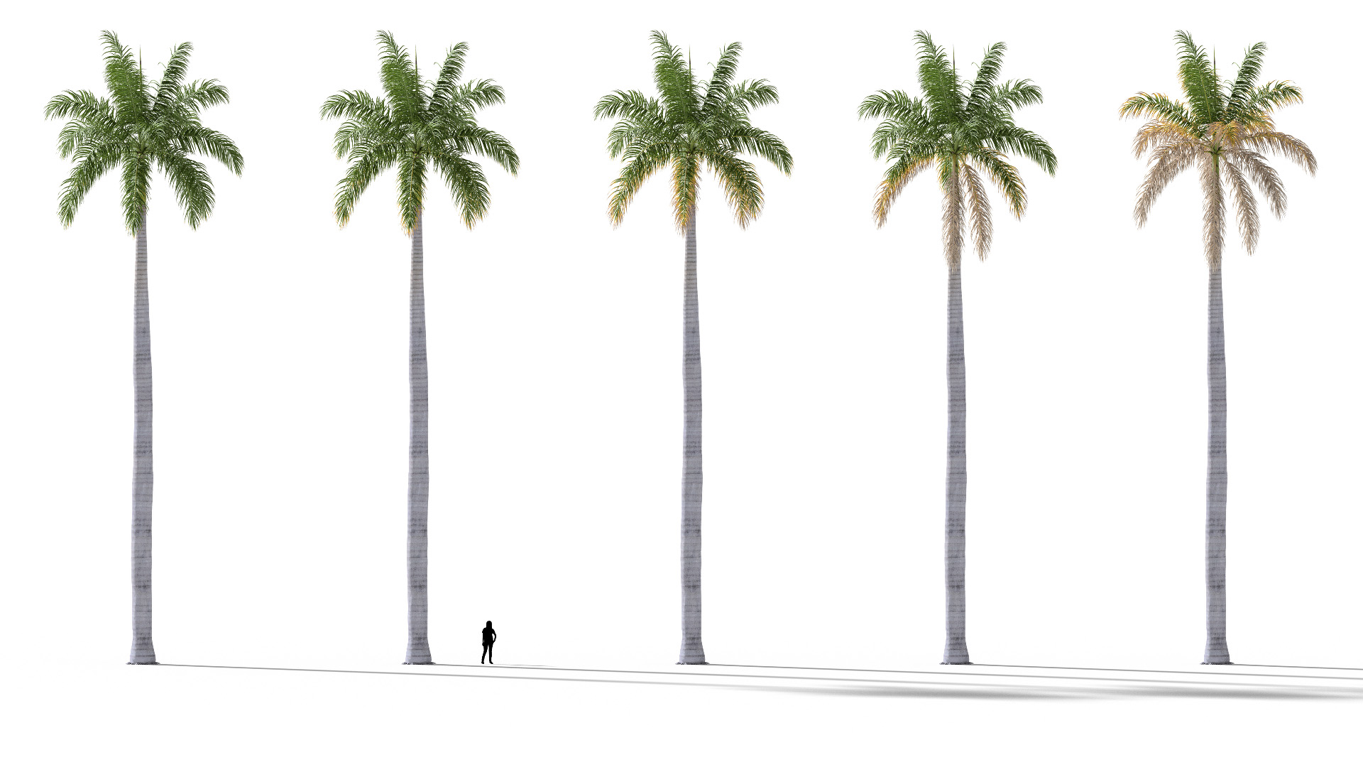 3D model of the Royal palm Roystonea regia health variations