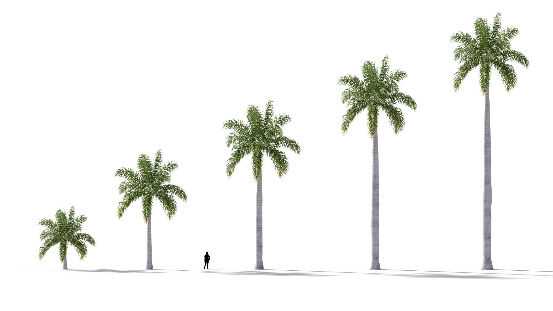 3D model of the Royal palm Roystonea regia maturity variations