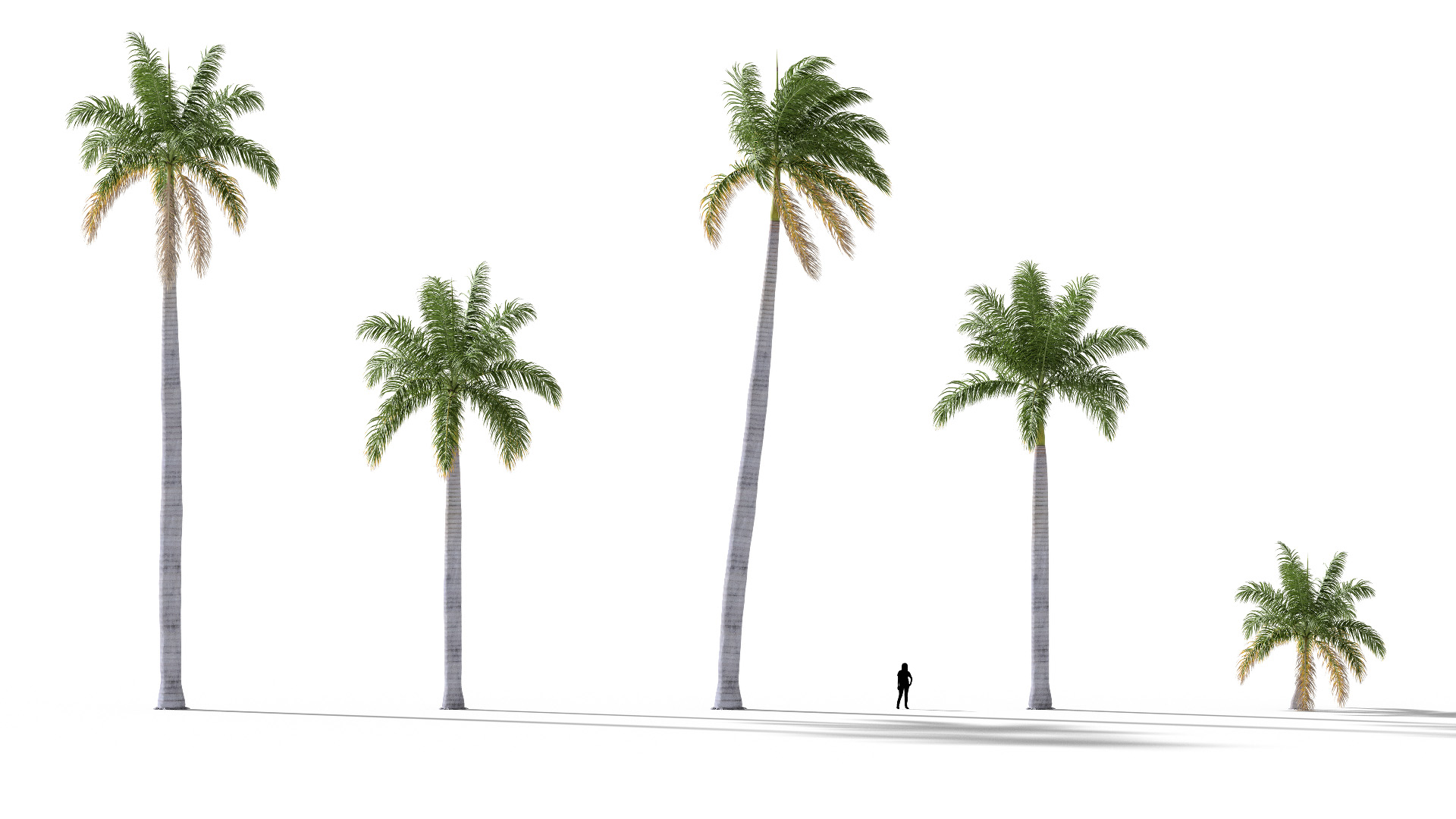 3D model of the Royal palm Roystonea regia different presets