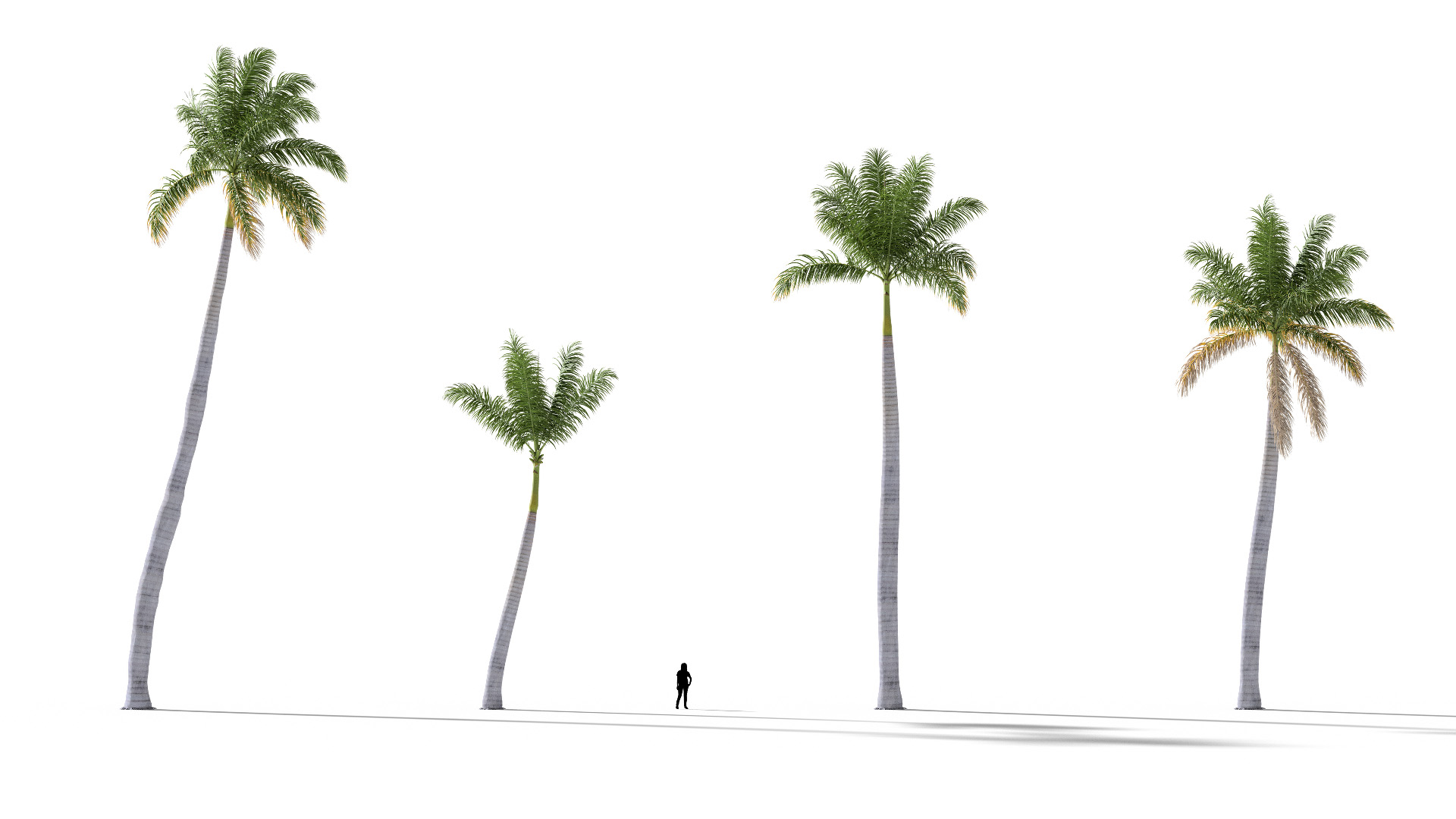 3D model of the Royal palm Roystonea regia published parameters