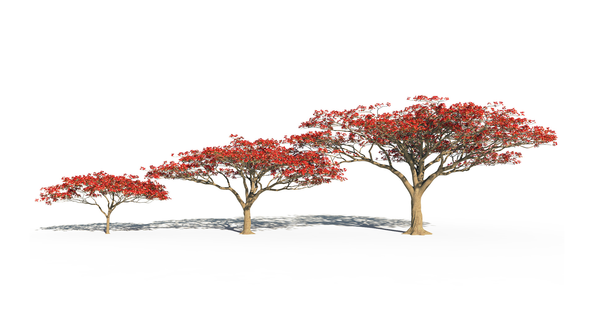 3D model of the Royal poinciana Delonix regia maturity variations