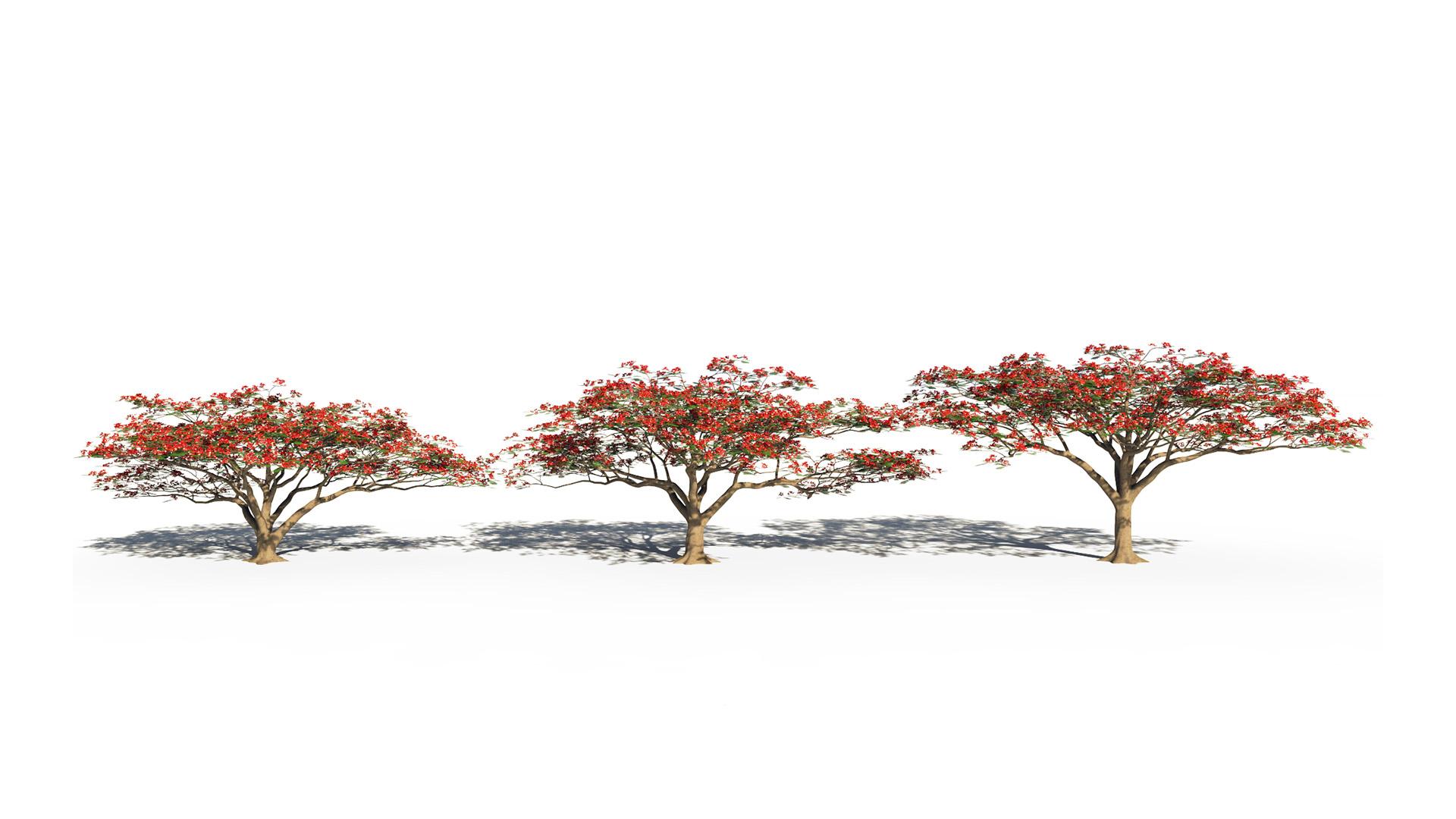 3D model of the Royal poinciana Delonix regia different presets
