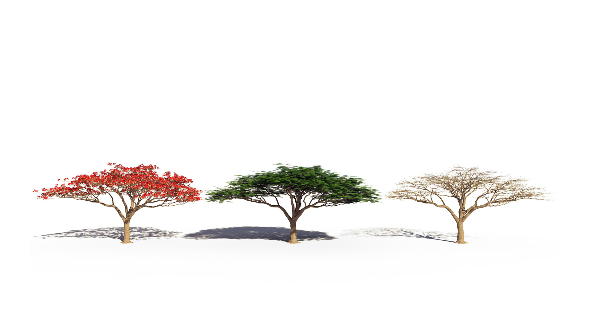 3D model of the Royal poinciana Delonix regia season variations