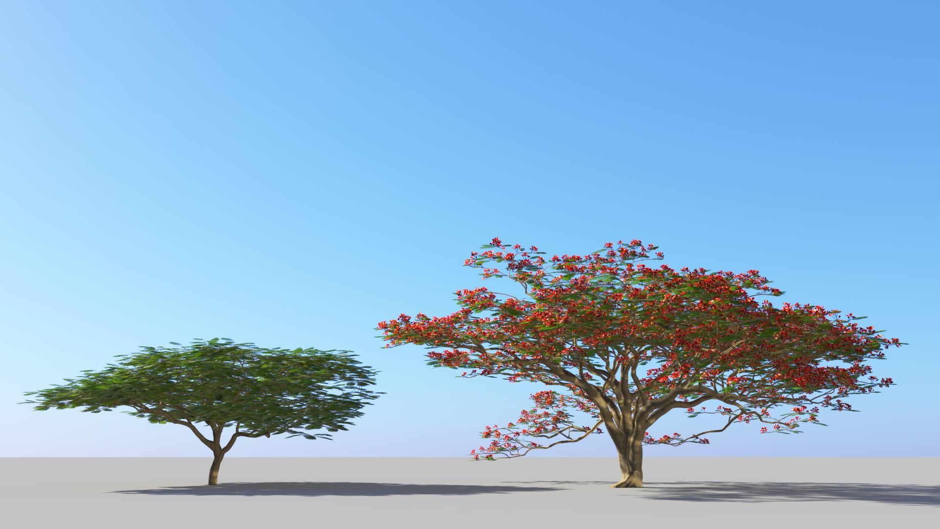 3D model of the Royal poinciana Delonix regia