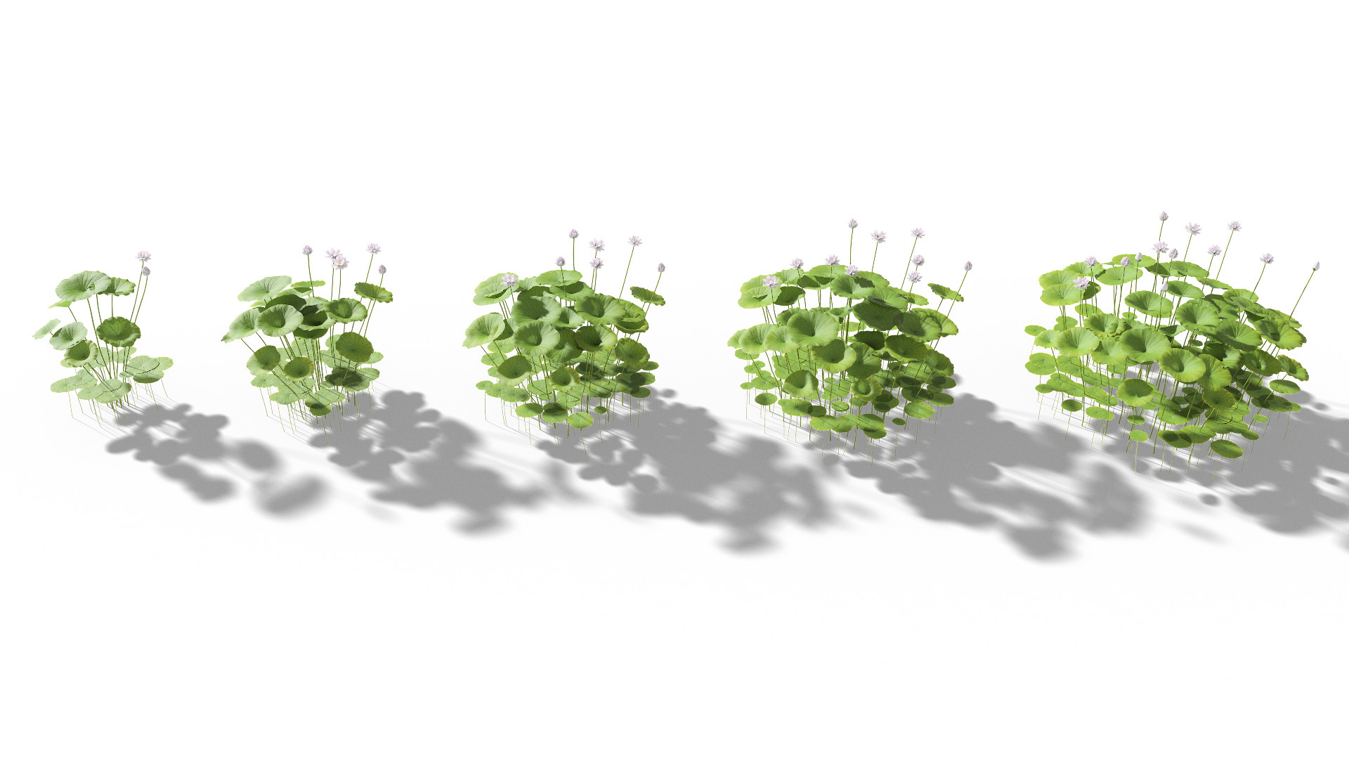 3D model of the Sacred lotus Nelumbo nucifera maturity variations