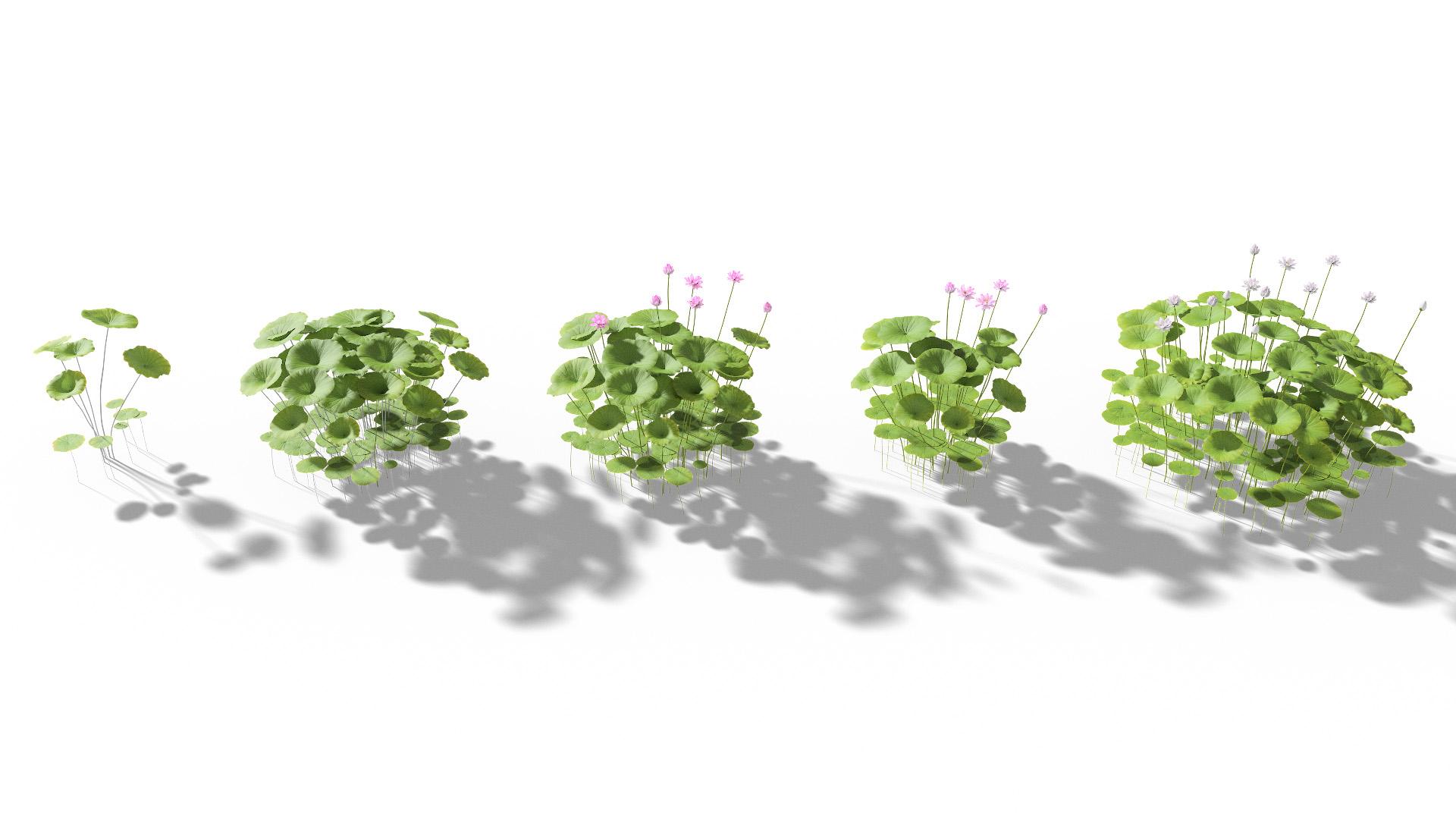 3D model of the Sacred lotus Nelumbo nucifera different presets