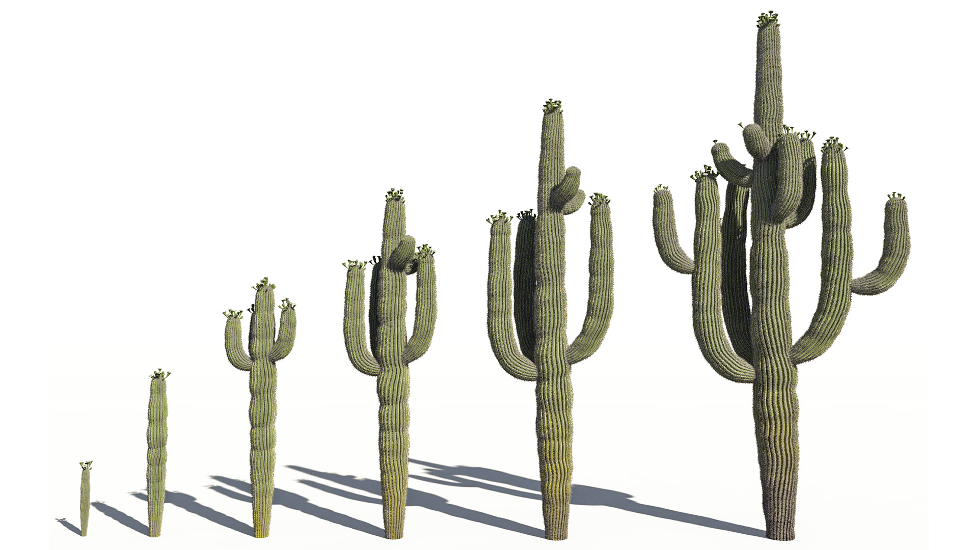 3D model of the Saguaro cactus Carnegiea gigantea maturity variations