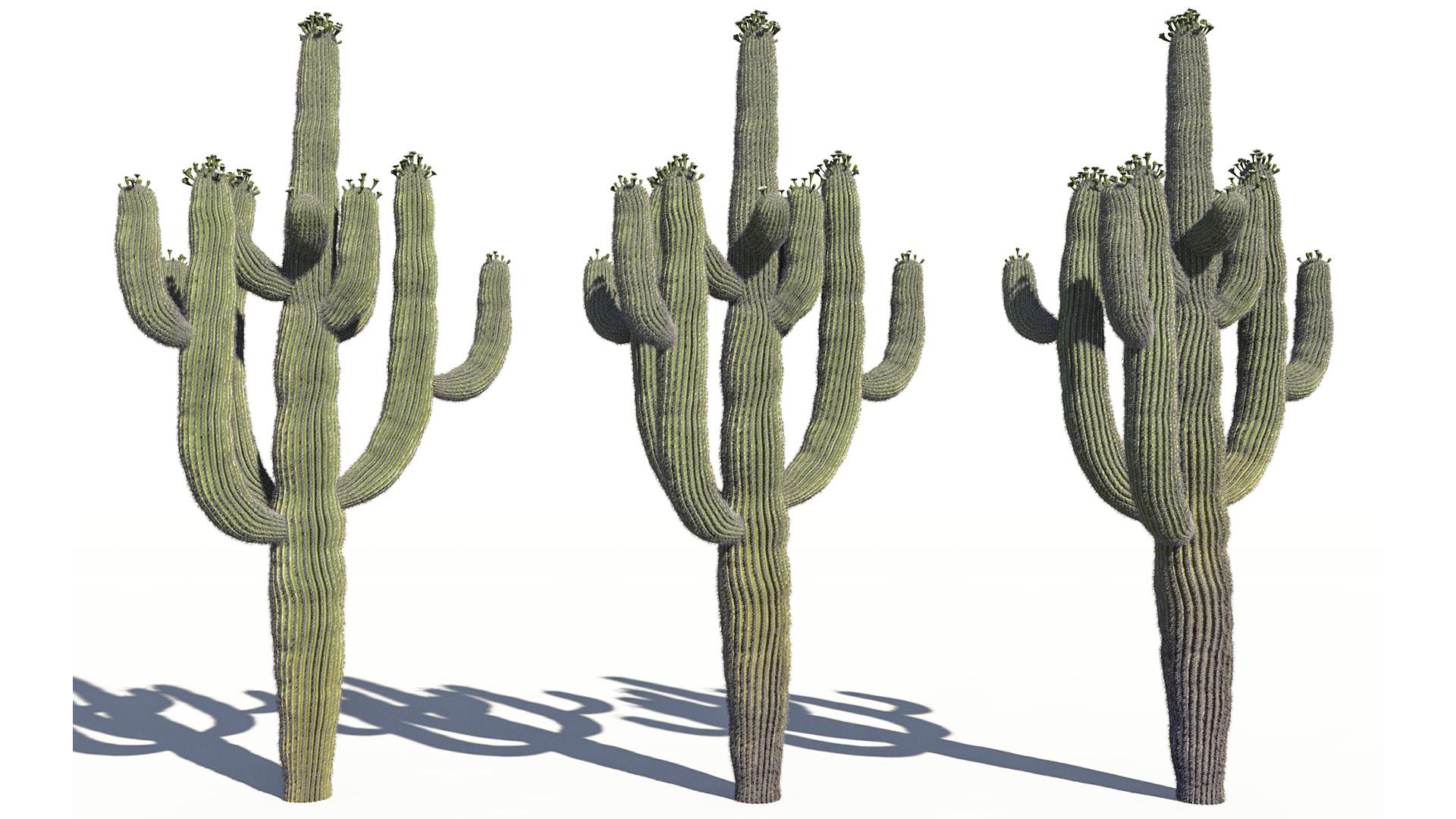 3D model of the Saguaro cactus Carnegiea gigantea health variations