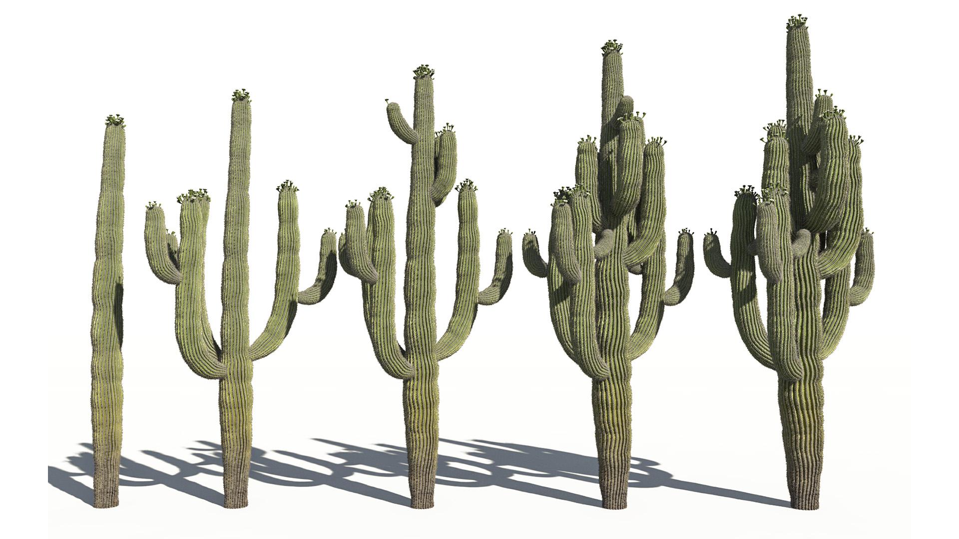 3D model of the Saguaro cactus Carnegiea gigantea different presets