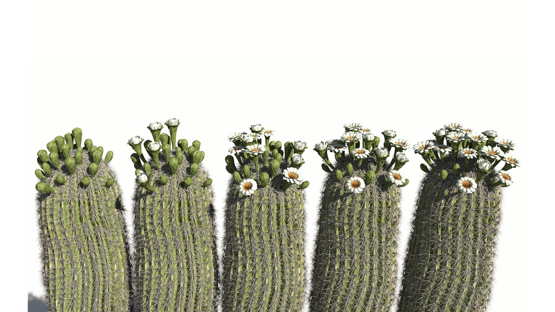 3D model of the Saguaro cactus Carnegiea gigantea season variations