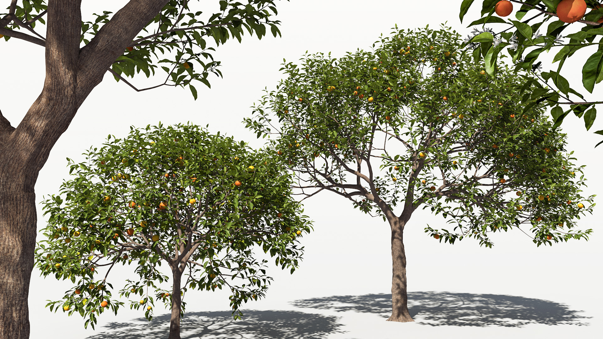 3D model of the Sour orange Citrus x aurantium different presets