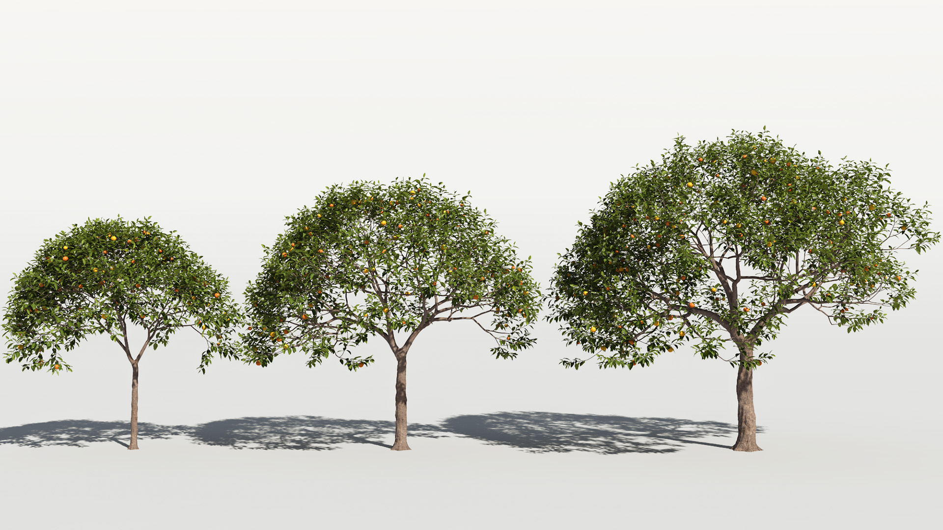 3D model of the Sour orange Citrus x aurantium maturity variations