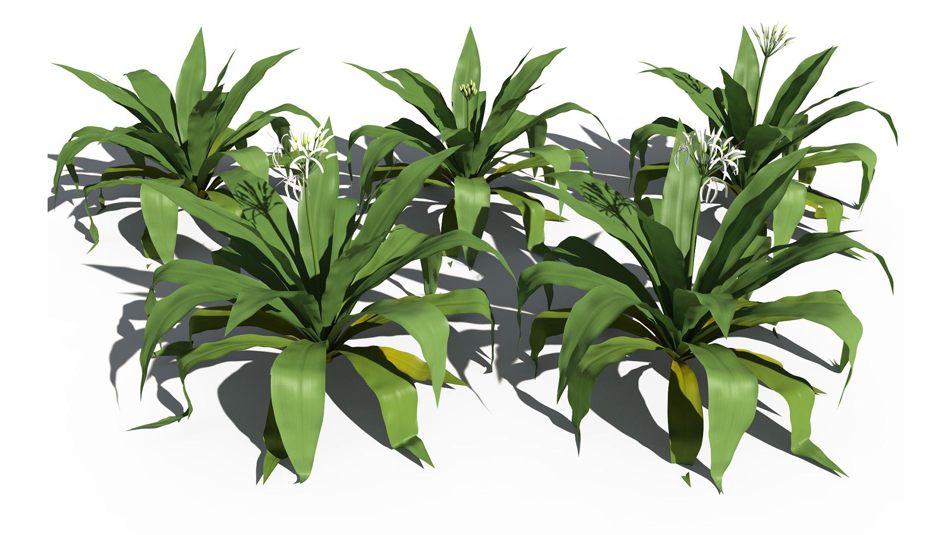 3D model of the Spider lily Crinum asiaticum season variations