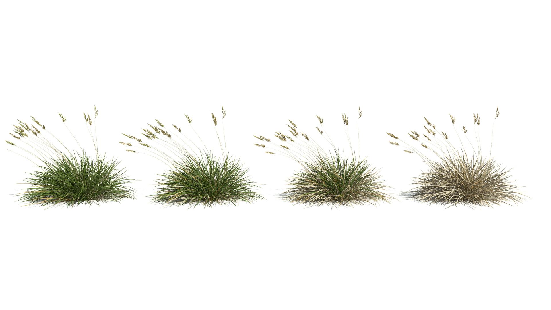 3D model of the Spiky fescue Festuca gautieri health variations