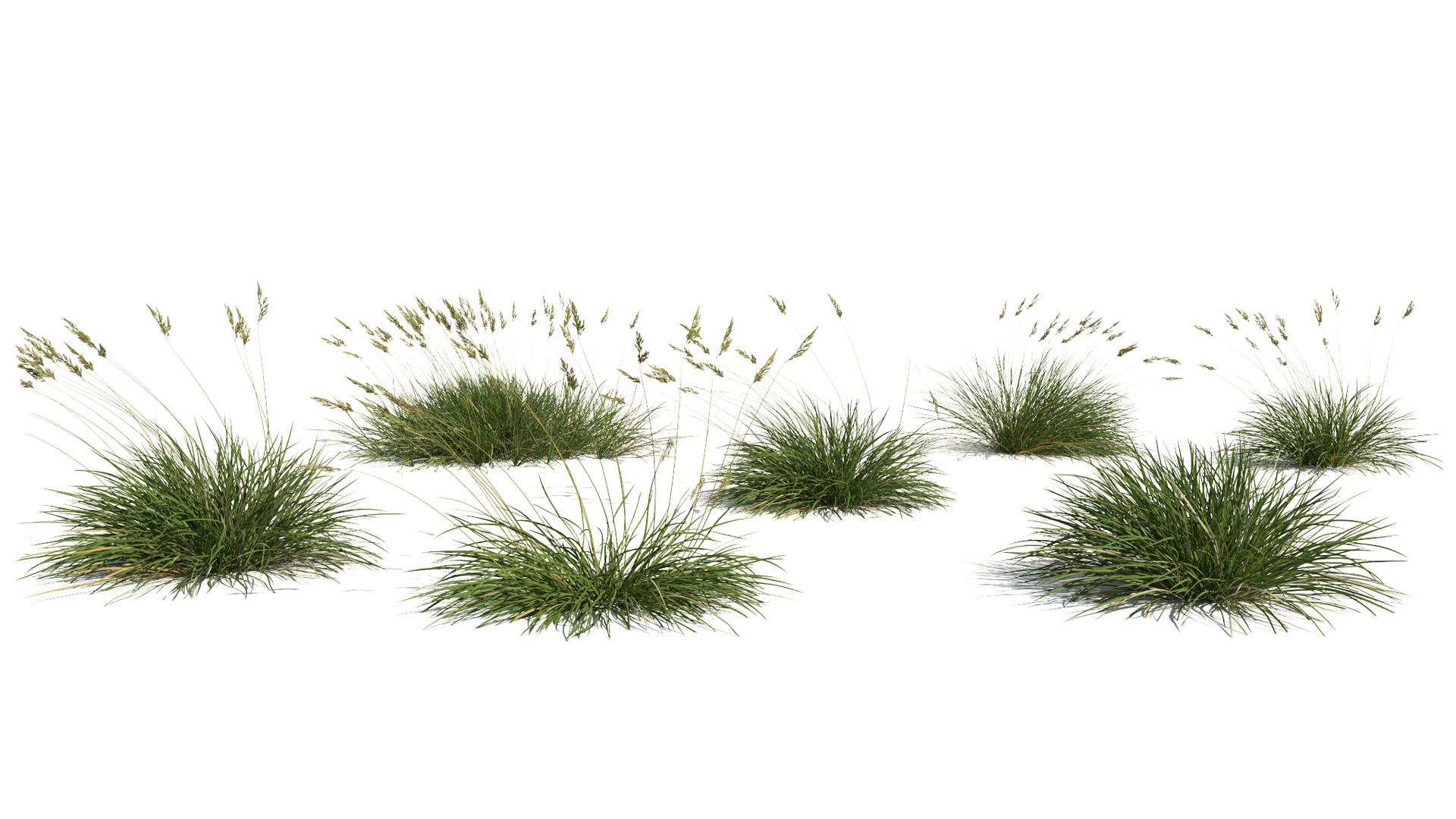 3D model of the Spiky fescue Festuca gautieri published parameters