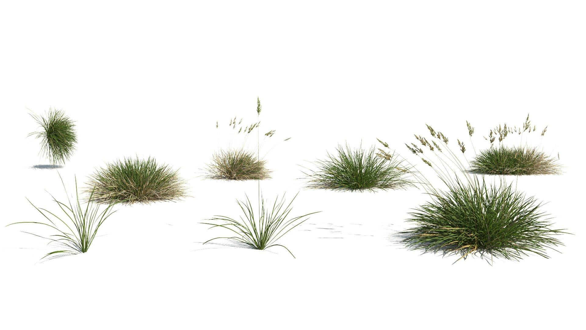3D model of the Spiky fescue Festuca gautieri different presets