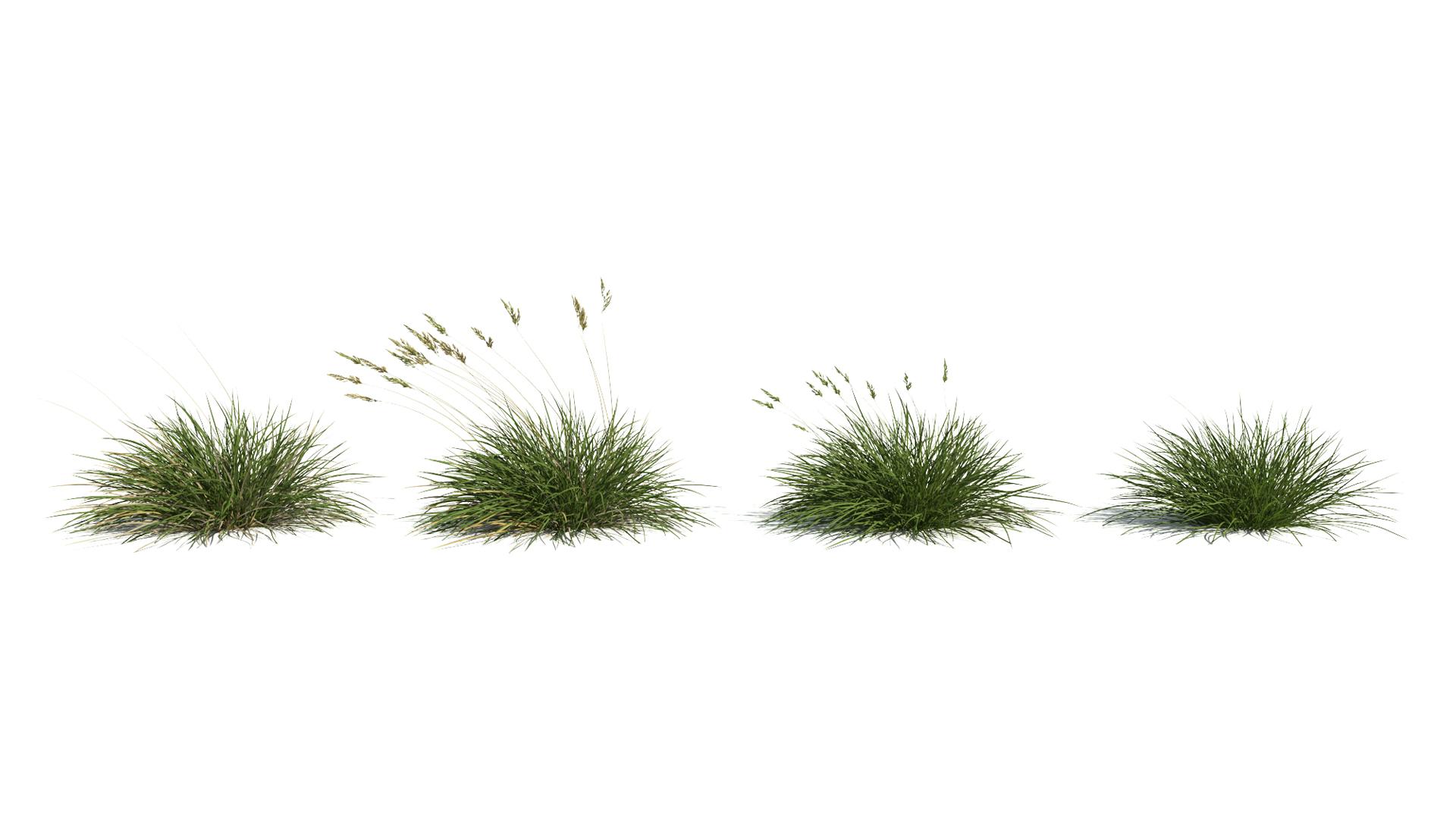 3D model of the Spiky fescue Festuca gautieri season variations