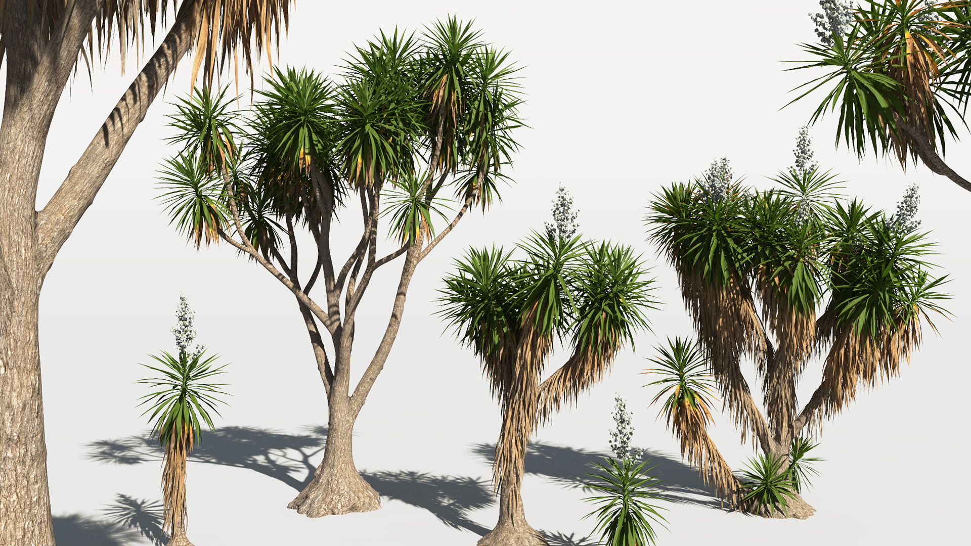3D model of the Spineless yucca Yucca elephantipes different presets