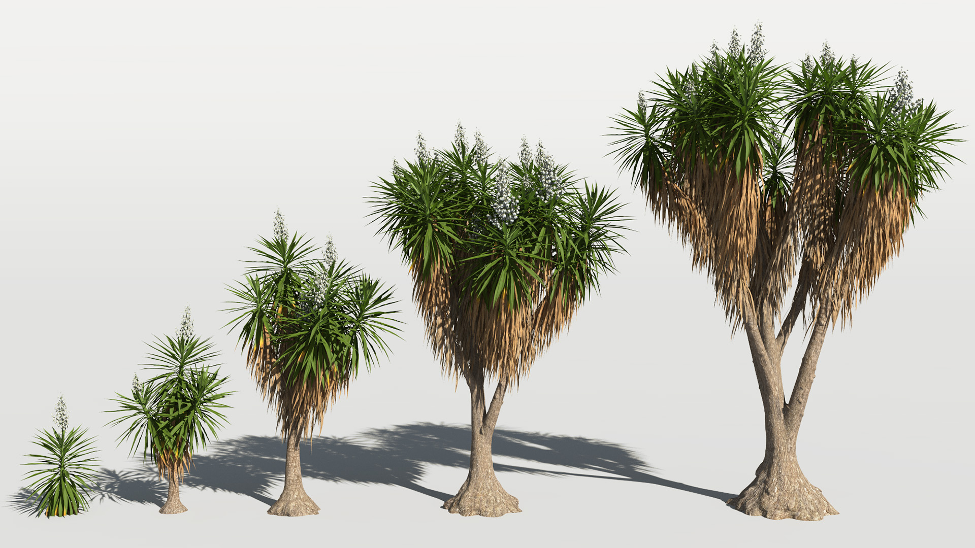 3D model of the Spineless yucca Yucca elephantipes maturity variations