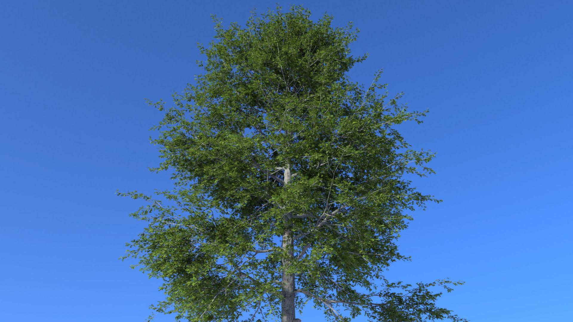 3D model of the Swamp oak Quercus palustris close-up