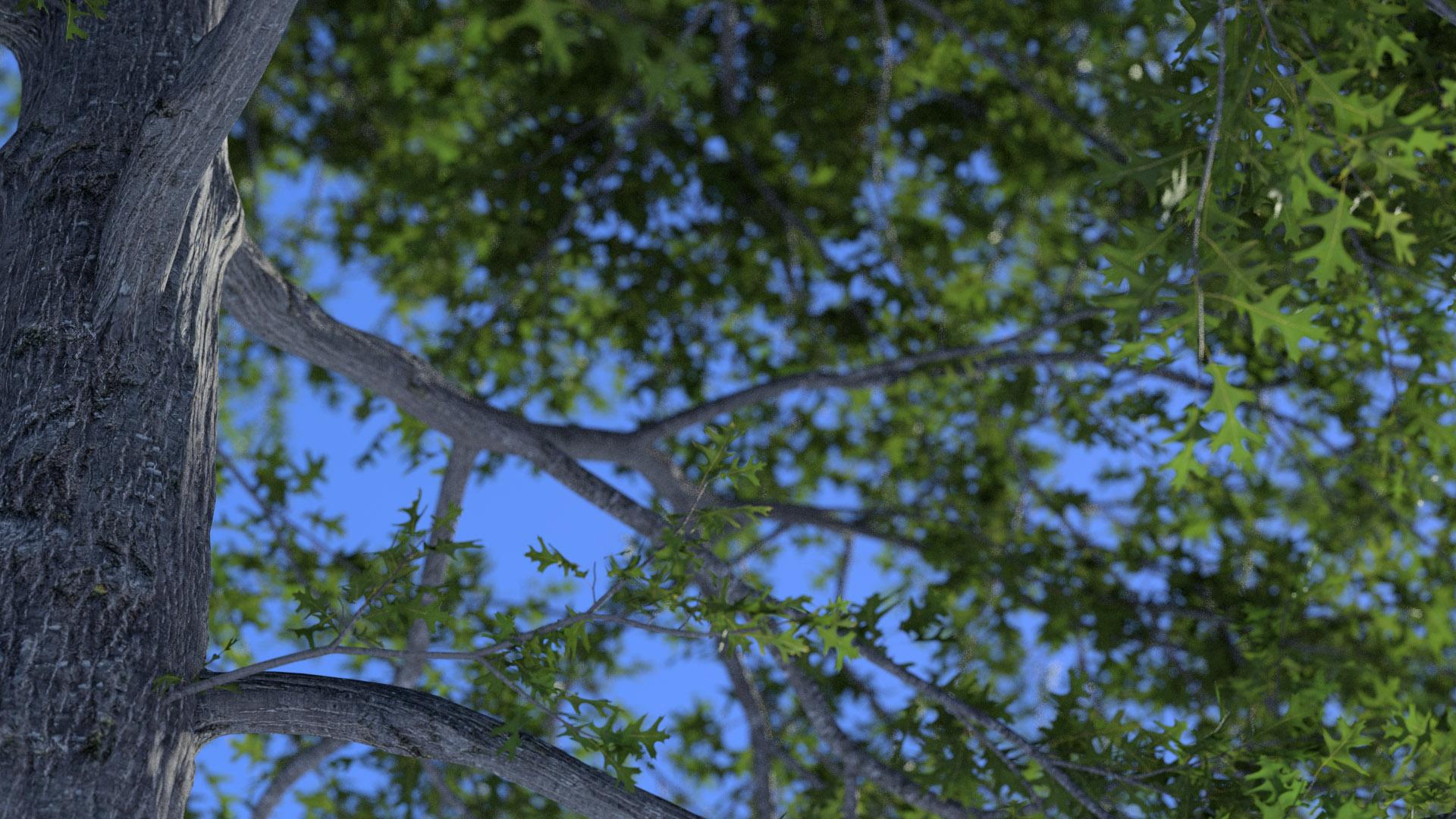 3D model of the Swamp oak Quercus palustris