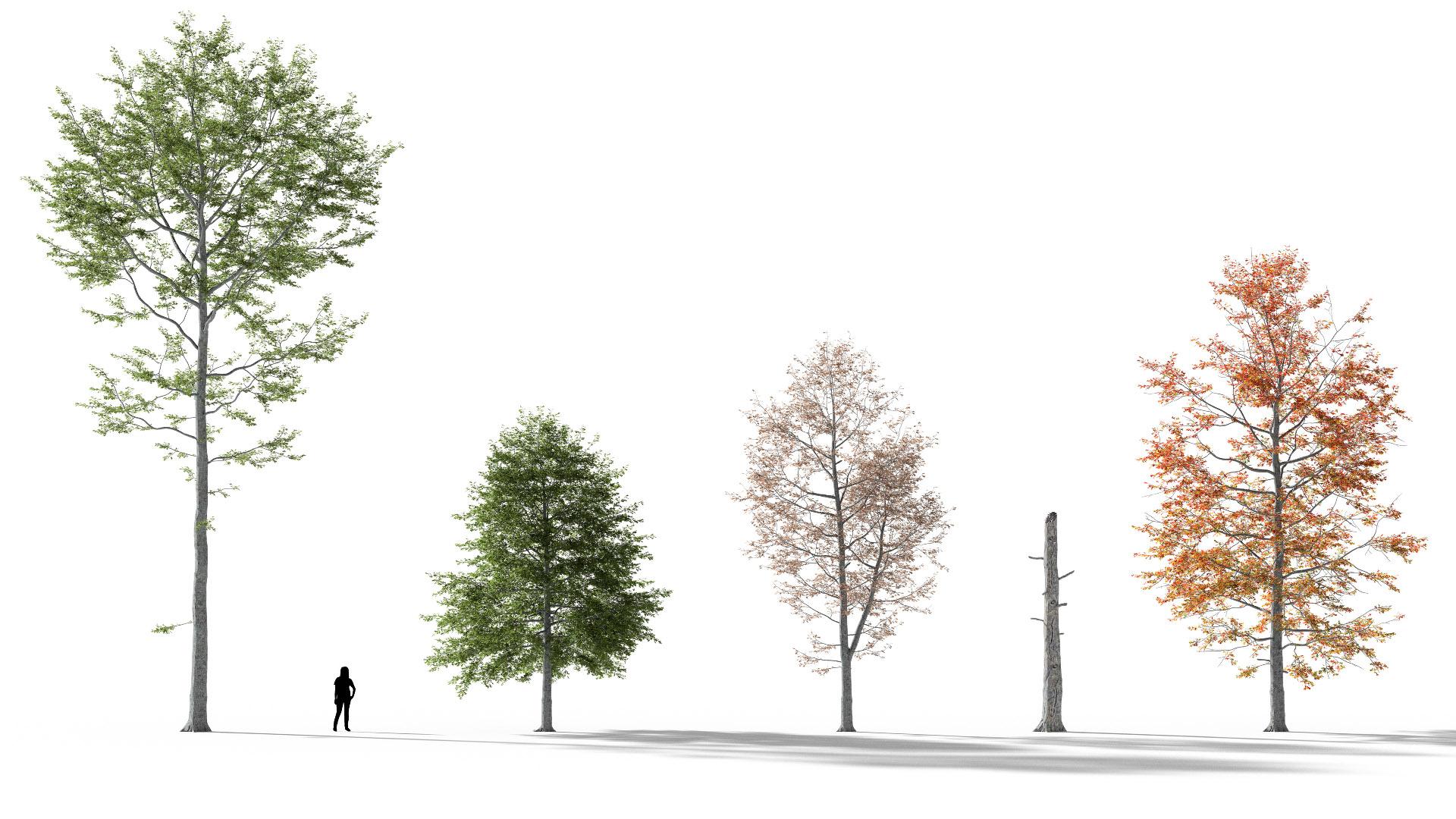 3D model of the Swamp oak Quercus palustris different presets