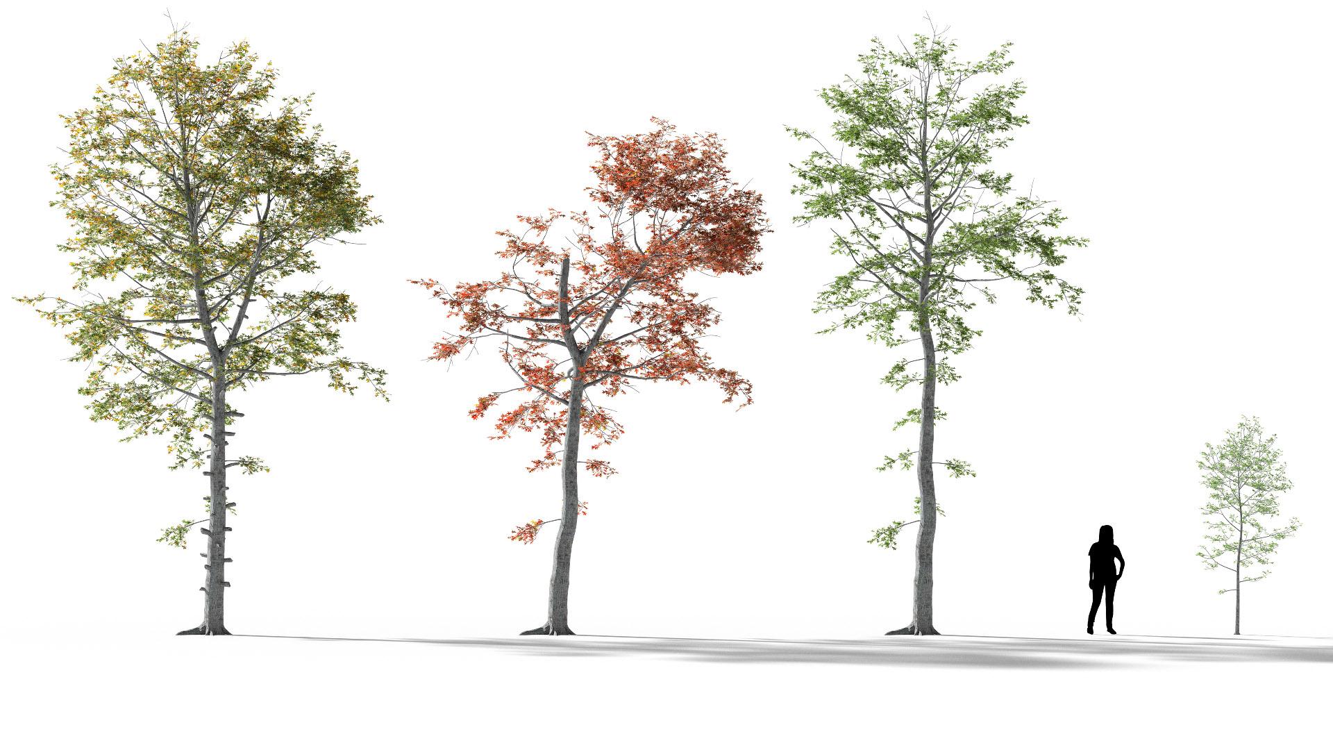 3D model of the Swamp oak Quercus palustris published parameters