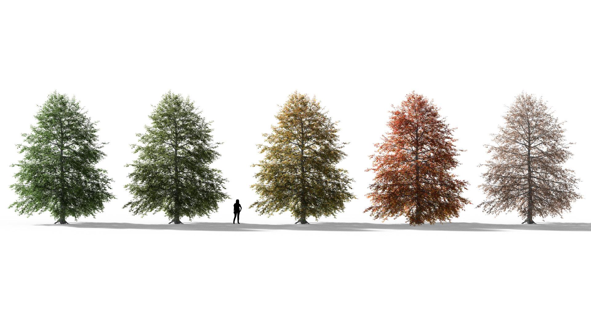 3D model of the Swamp oak Quercus palustris season variations