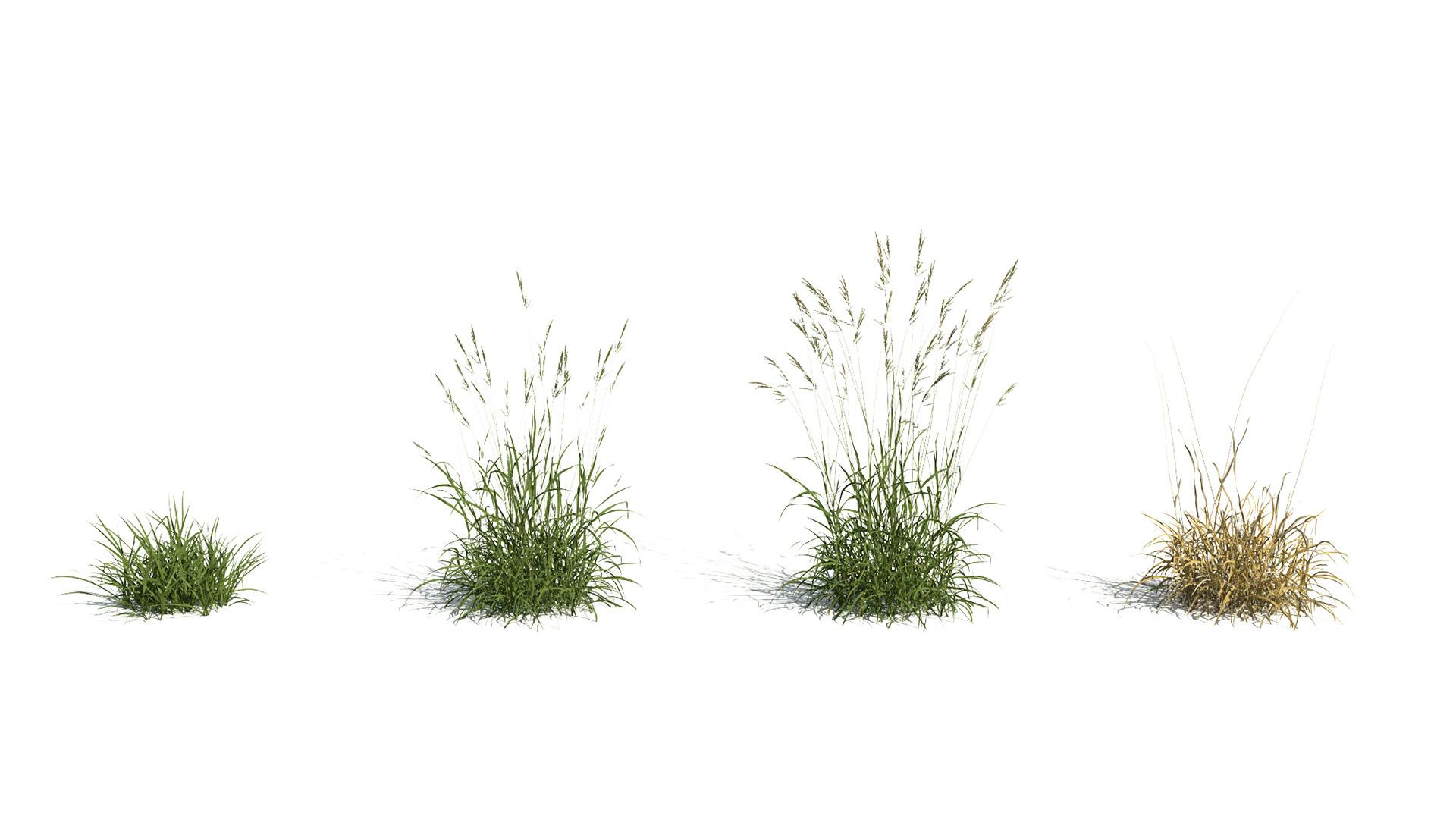 3D model of the Tall fescue Festuca arundinacea season variations