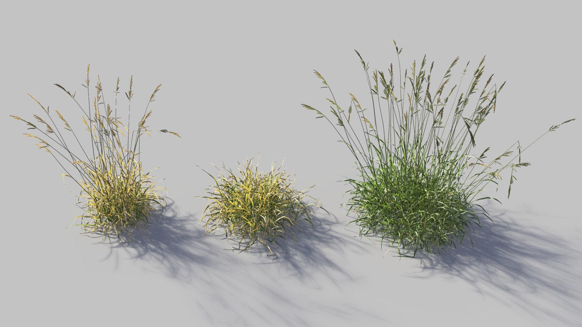 3D model of the Tall fescue Festuca arundinacea