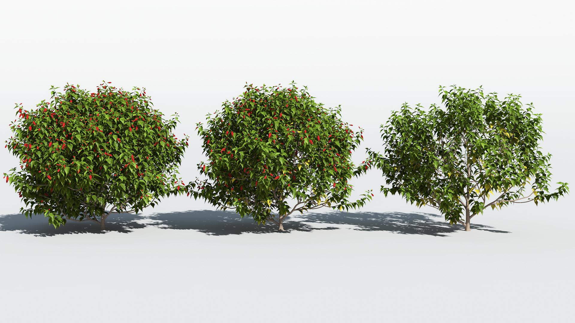 3D model of the Turks cap mallow Malvaviscus penduliflorus health variations