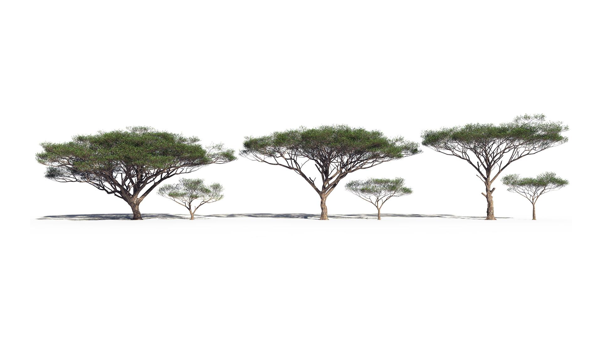 3D model of the Umbrella acacia Vachellia tortilis different presets