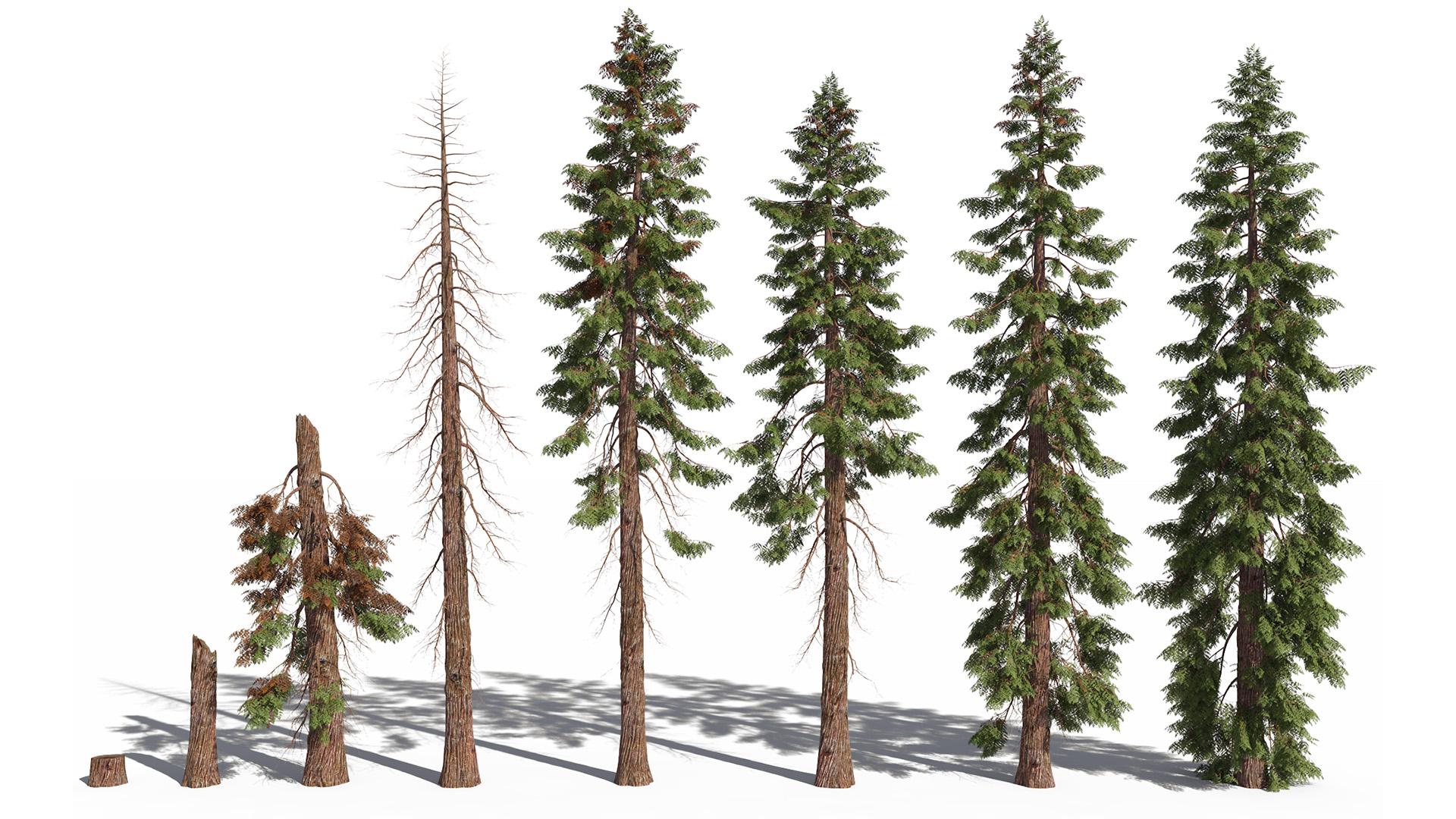 3D model of the Western red cedar Thuja plicata health variations