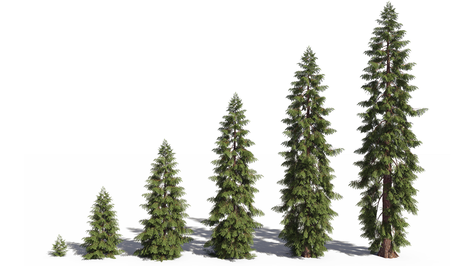 3D model of the Western red cedar Thuja plicata maturity variations
