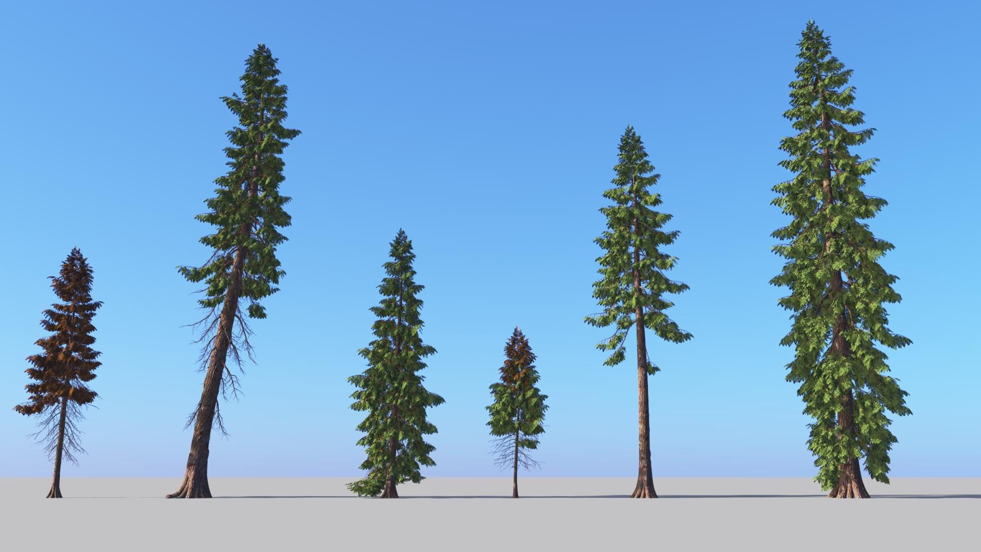 3D model of the Western red cedar Thuja plicata