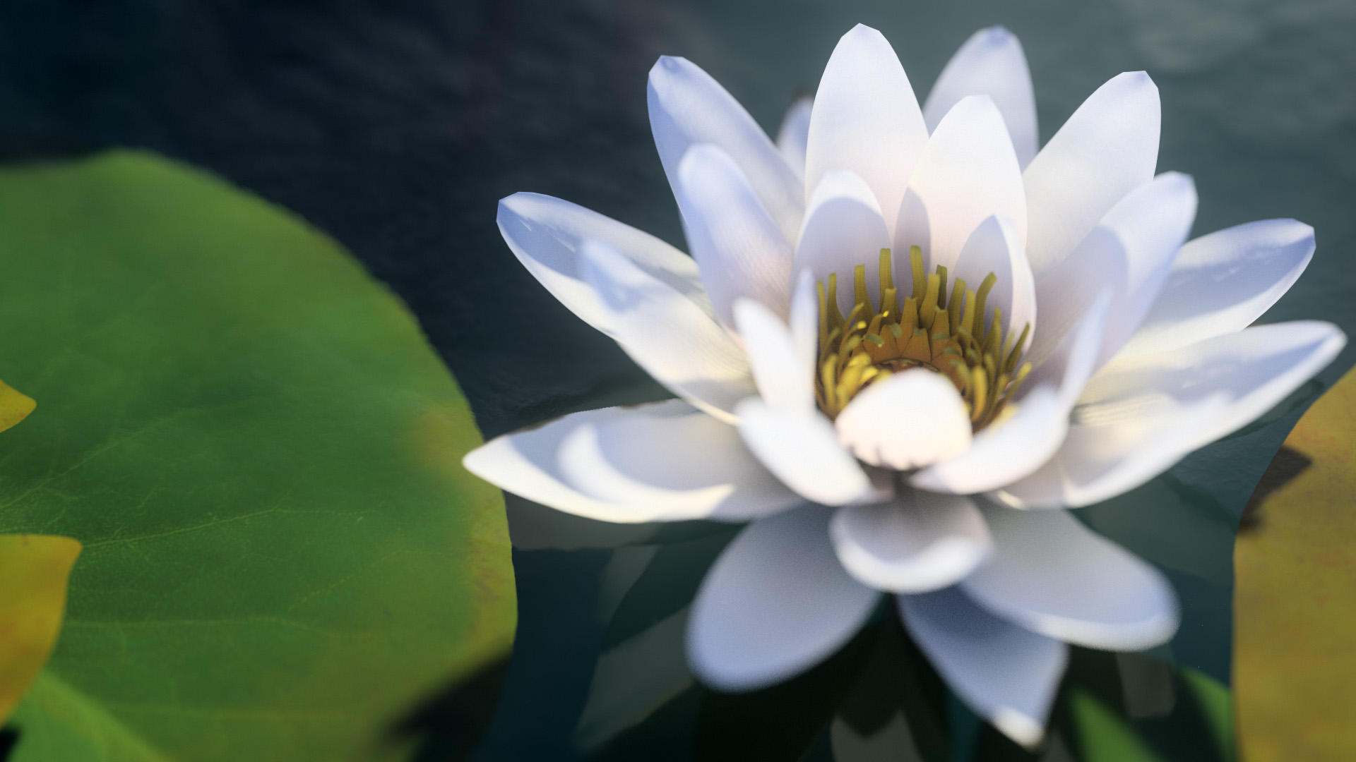 3D model of the White water lily Nymphaea alba close-up