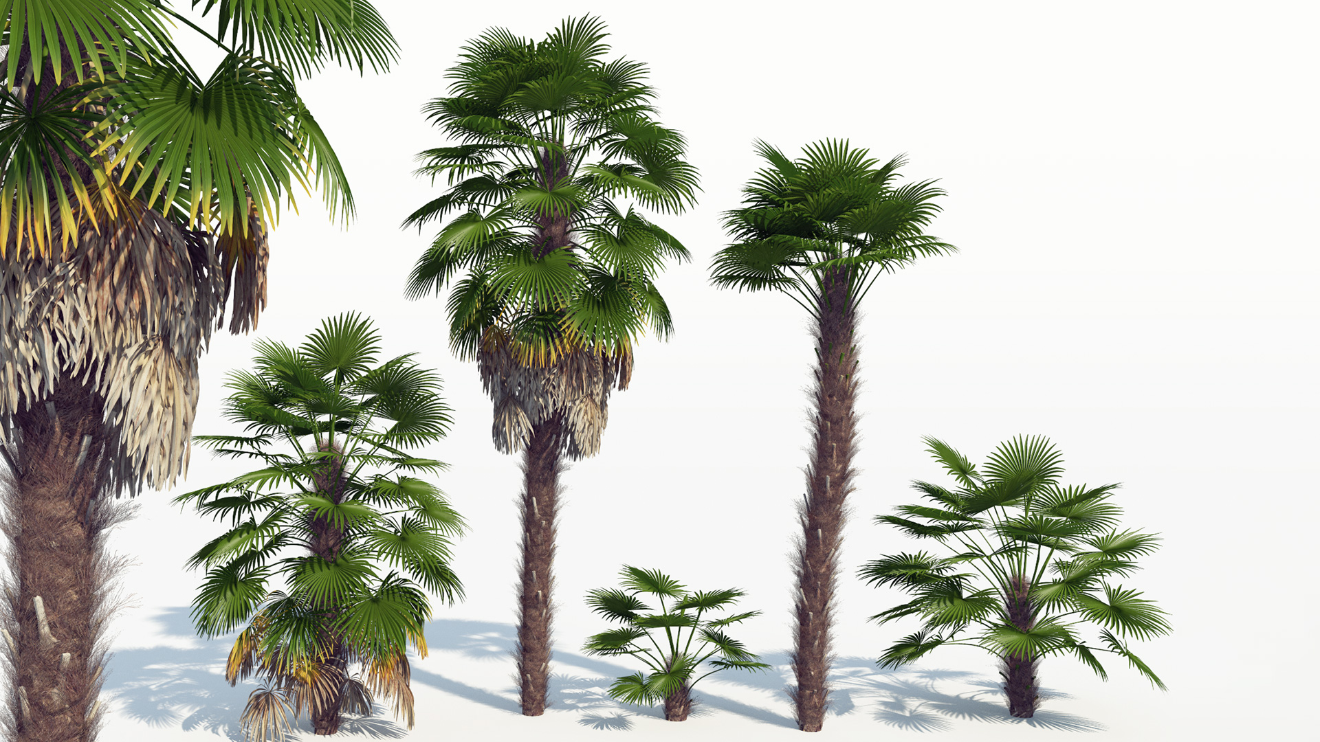 3D model of the Windmill palm Trachycarpus fortunei different presets