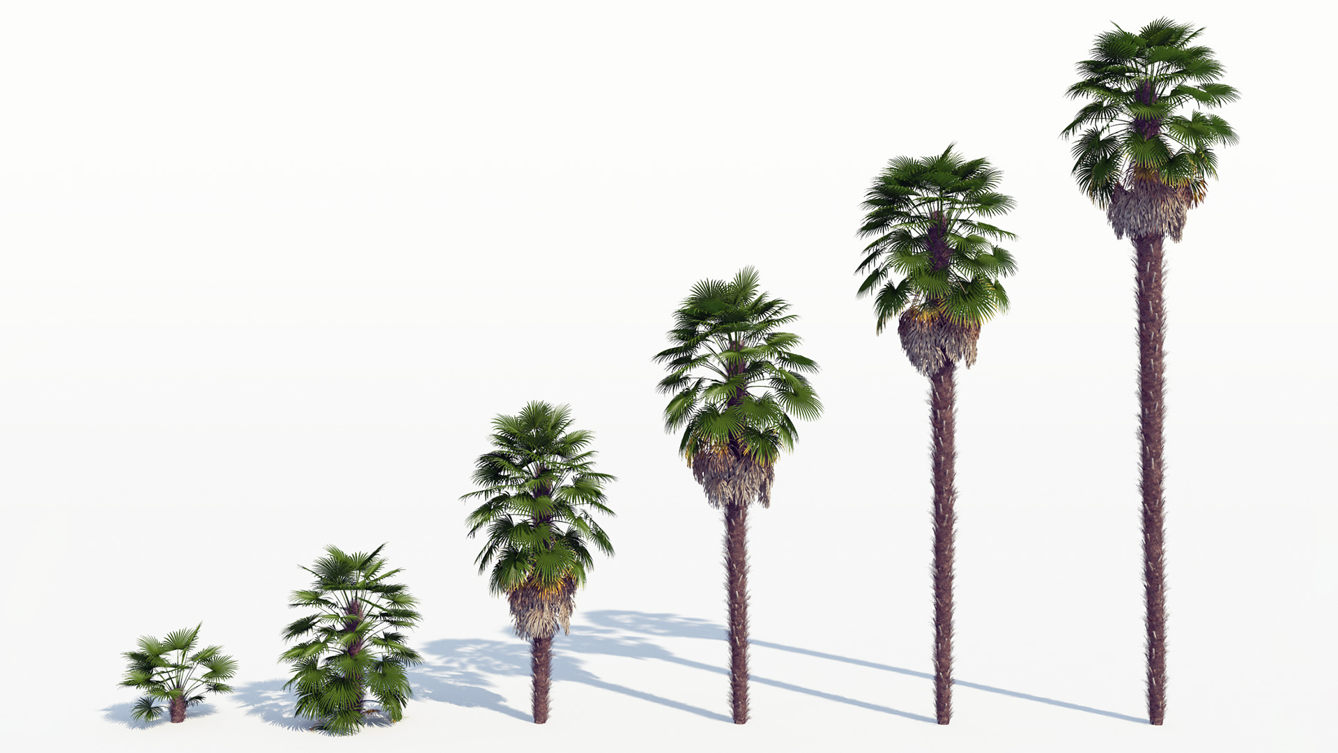 3D model of the Windmill palm Trachycarpus fortunei maturity variations