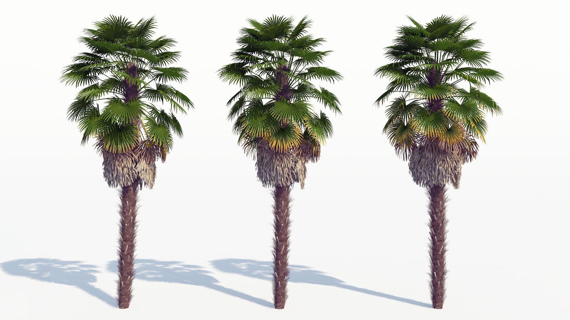 3D model of the Windmill palm Trachycarpus fortunei health variations