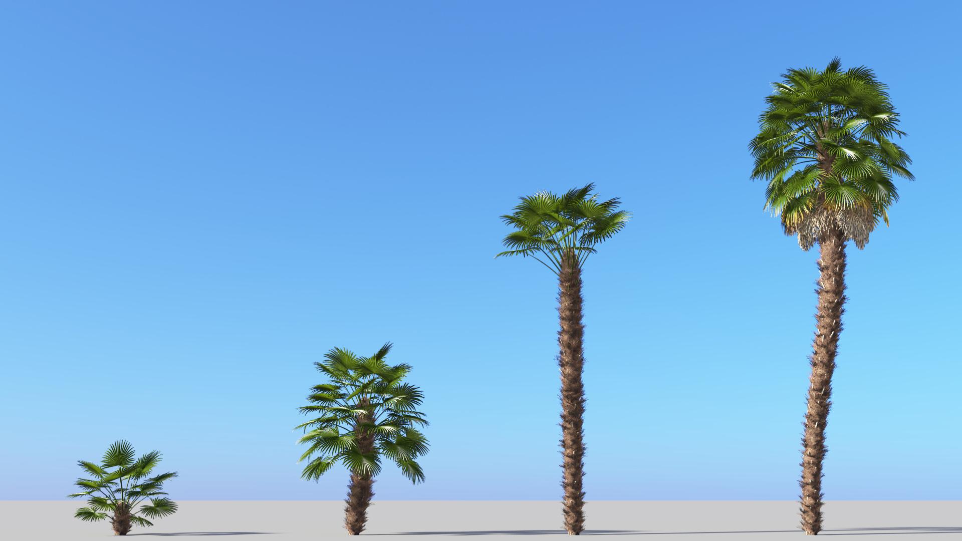 3D model of the Windmill palm Trachycarpus fortunei